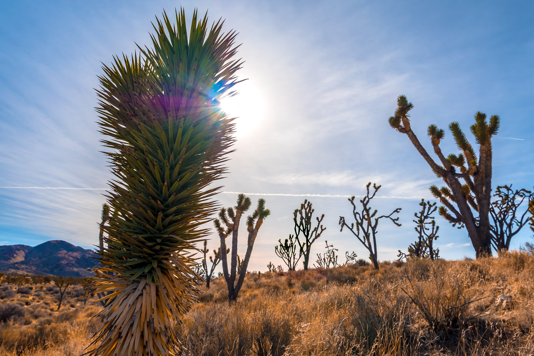 The sun hangs in the sky over the flora of California's Mojave National Preserve.