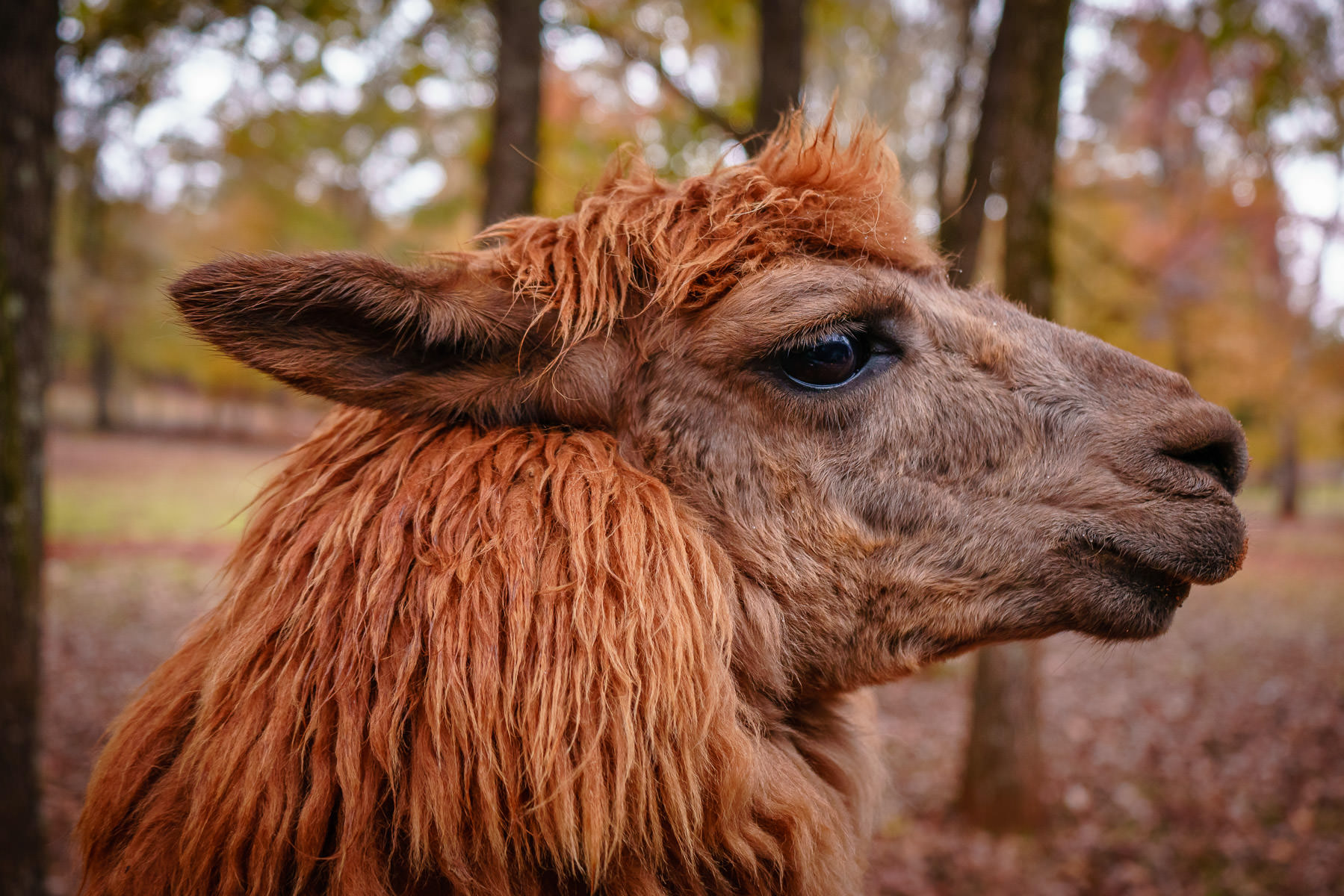 An alpaca poses for a portrait at Cherokee Trace Drive-Thru Safari near Jacksonville, Texas.