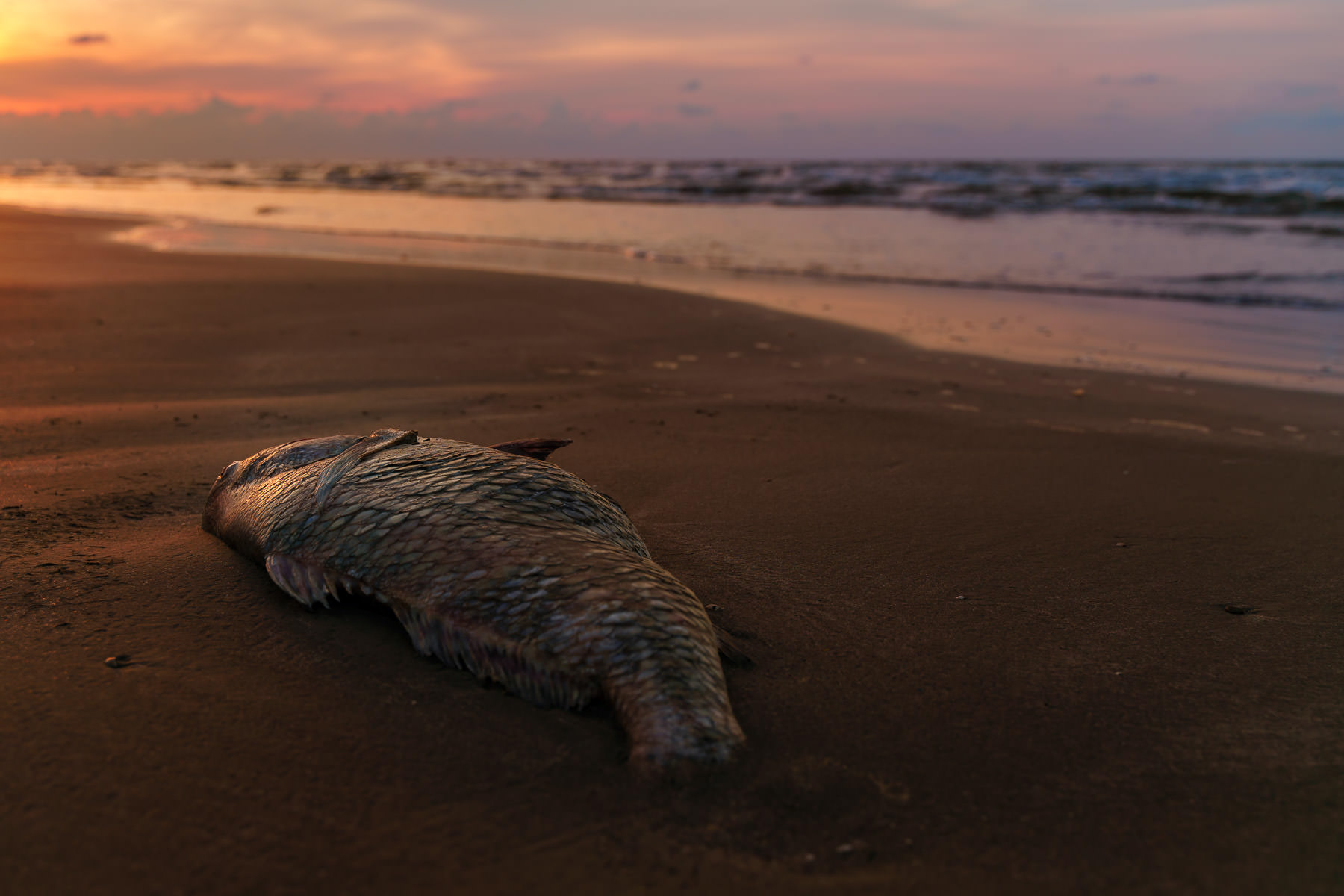 The sun rises on a dead fish, washed up on a Galveston, Texas, beach.