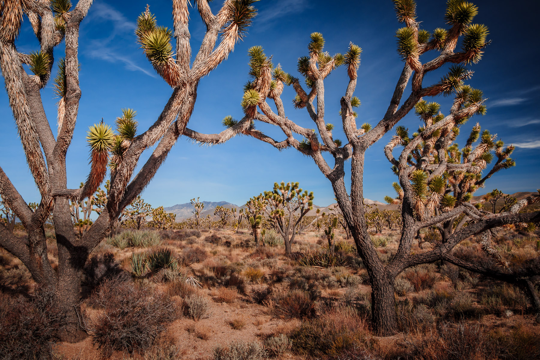 Joshua trees grow in the desert of California's Mojave National Preserve.