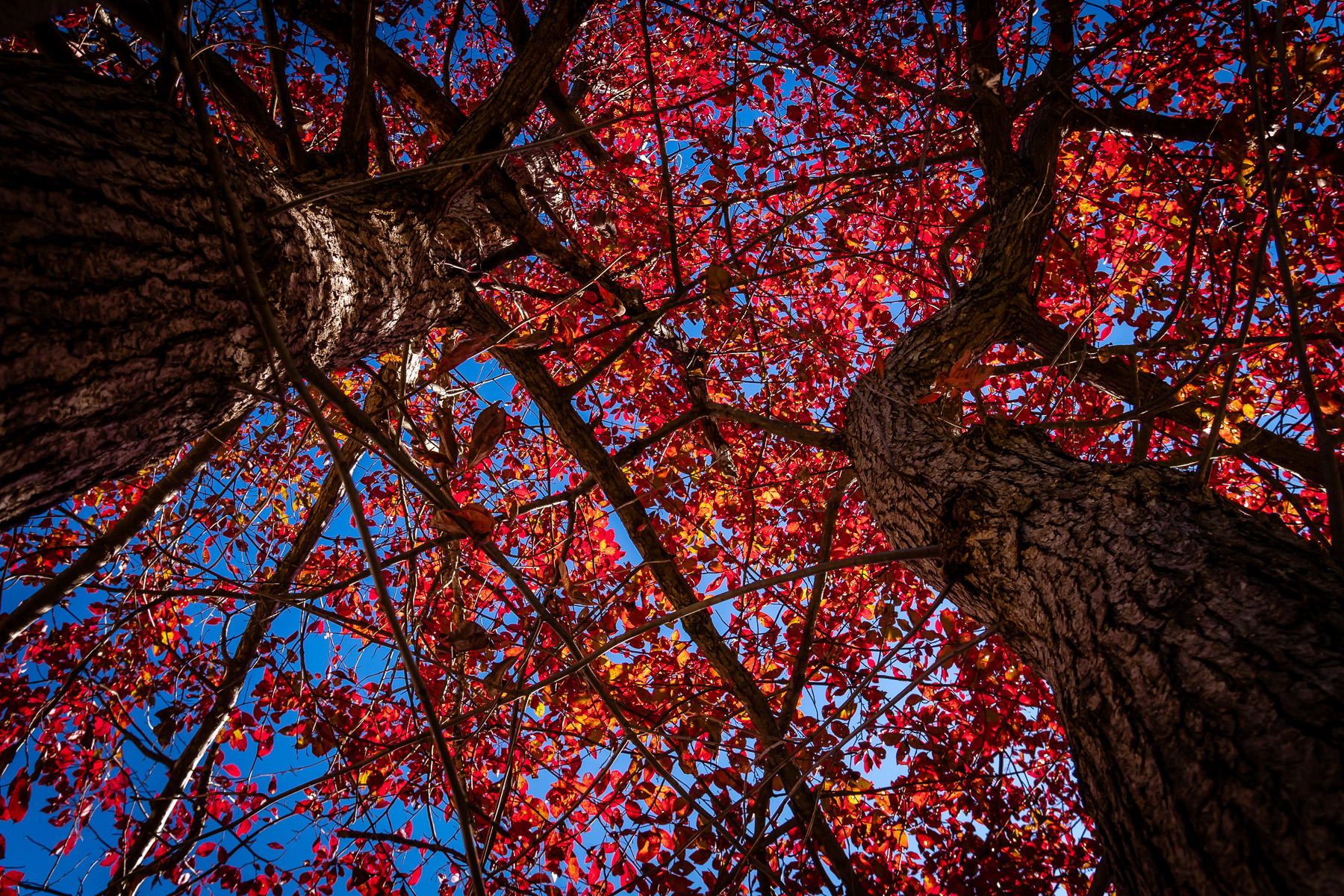 Trees' leaves turn red for autumn in Tyler, Texas.