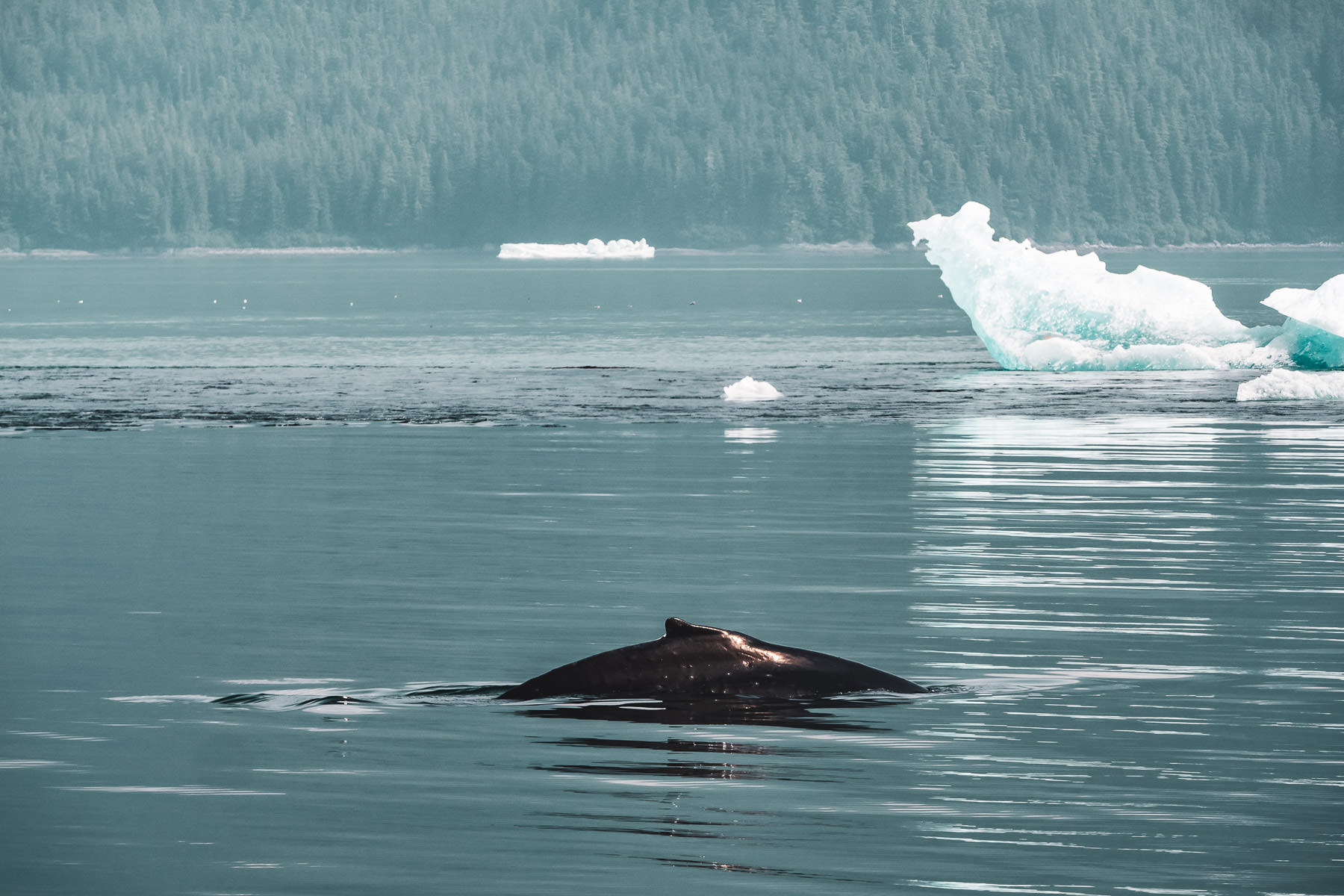 A humpback whale breaches the surface of Alaska's Stephens Passage south of Juneau.