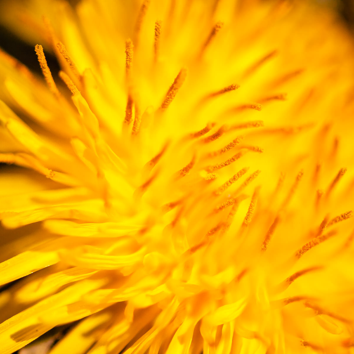 The anthers of a dandelion flower recede into a creamy bokeh caused by a narrow depth-of-field in this shot taken in Frisco, Texas.