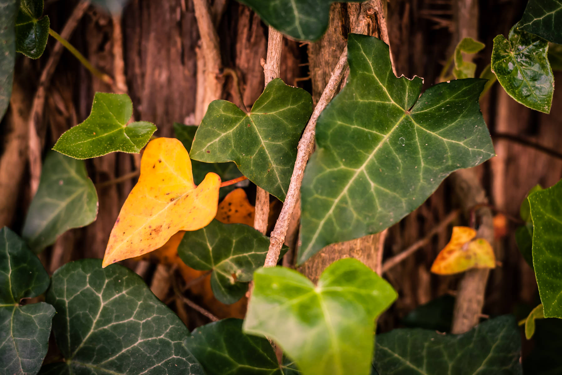 Ivy leaves growing on a tree at Bonham State Park, Texas.