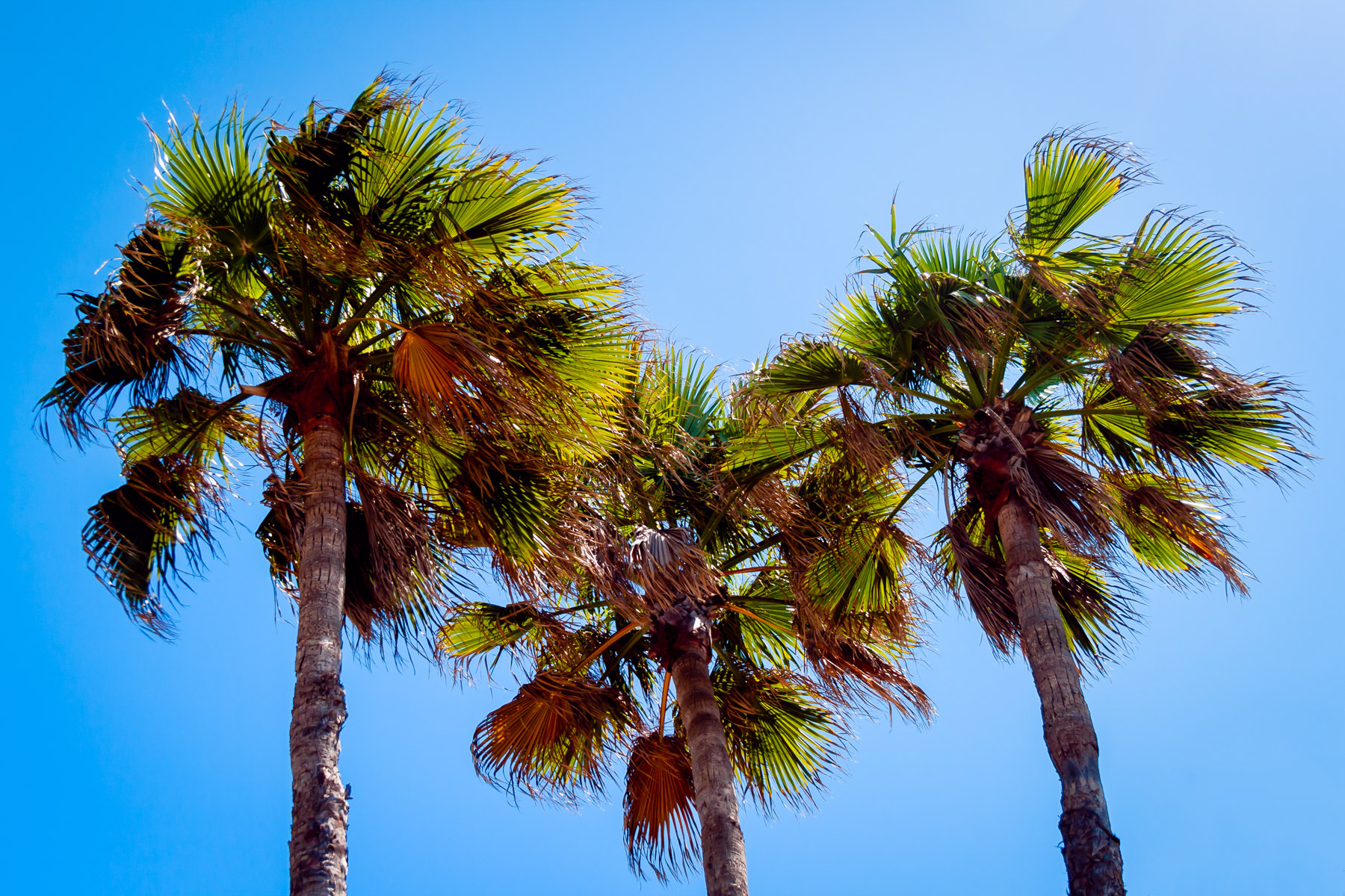 A trio of palm trees tower over South Padre Island, Texas.