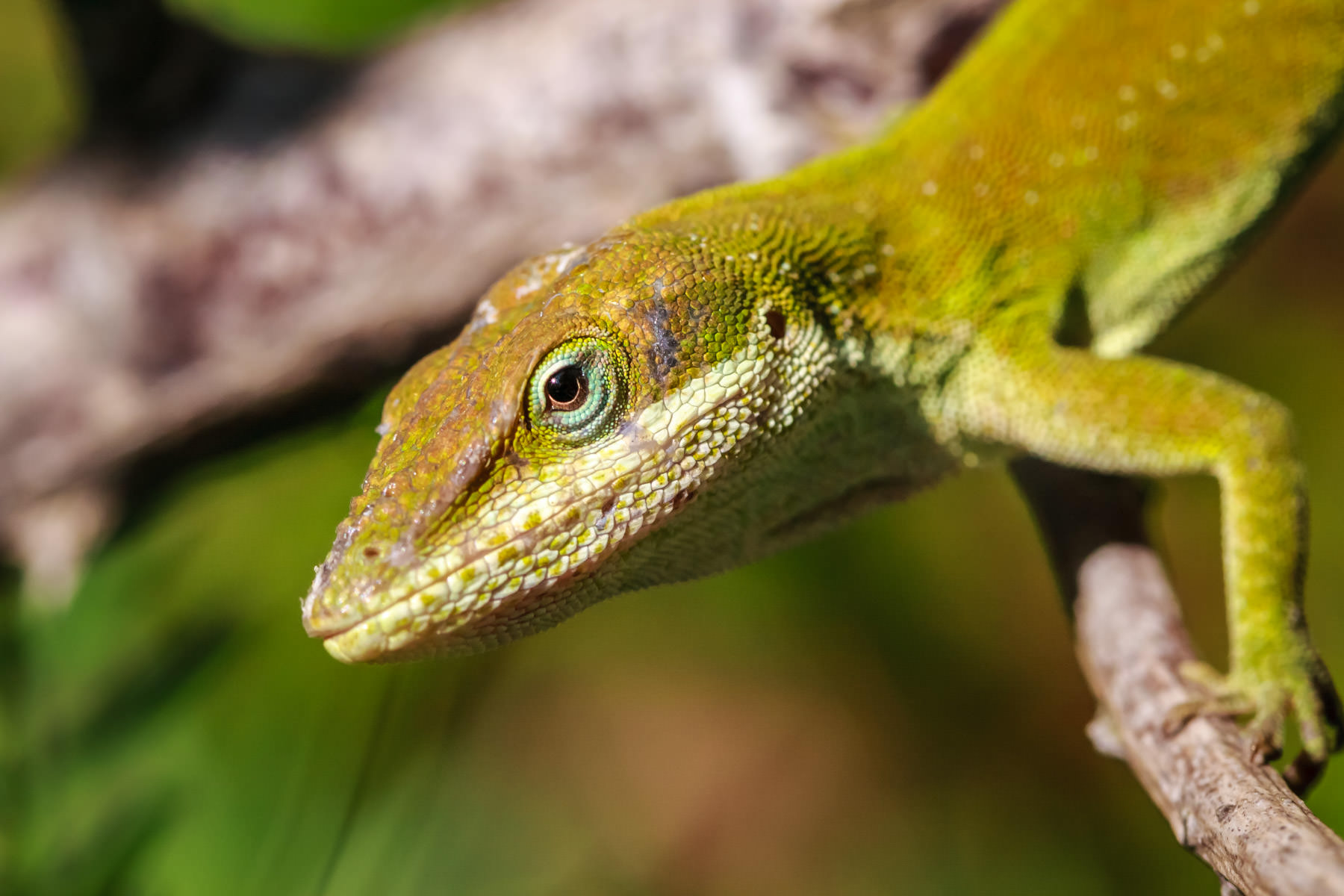 A green anole gives me a good look over while I take his photo in Tyler, Texas.