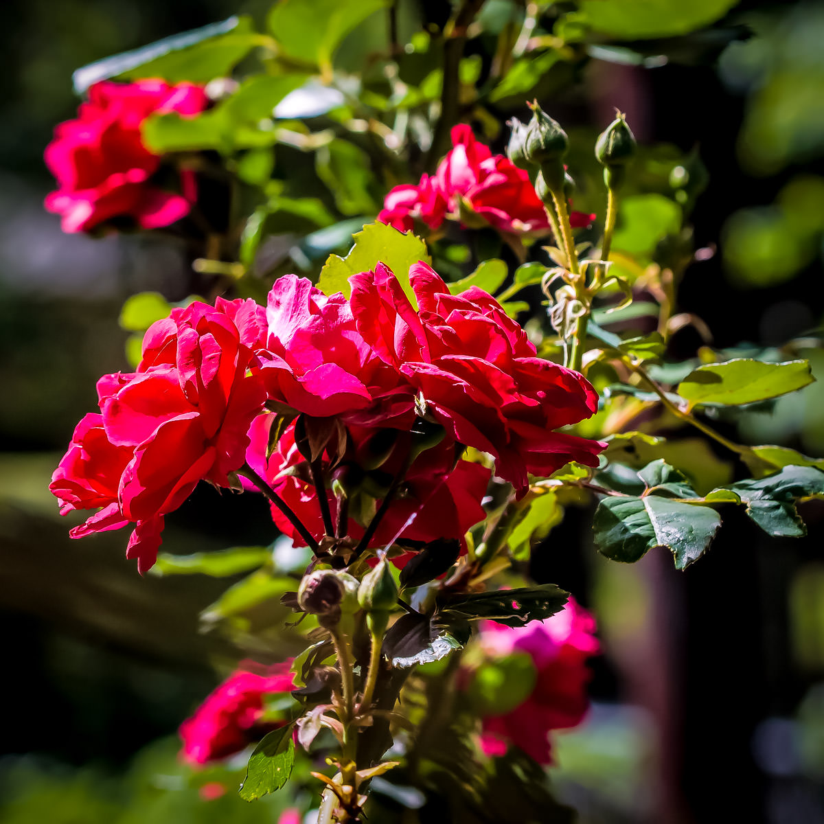 """Roses, apropos of its nickname of """"The Rose City"""", spotted in Tyler, Texas."""