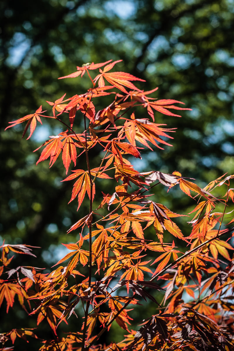 A Japanese maple tree, shot at my mother's house in Tyler, Texas.