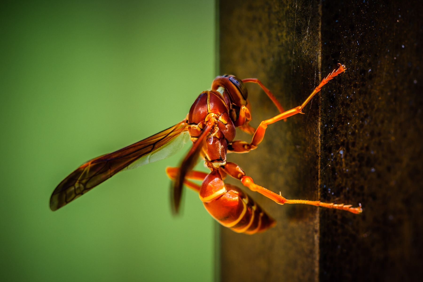 This rather scary-looking wasp was spotted in College Station, Texas.