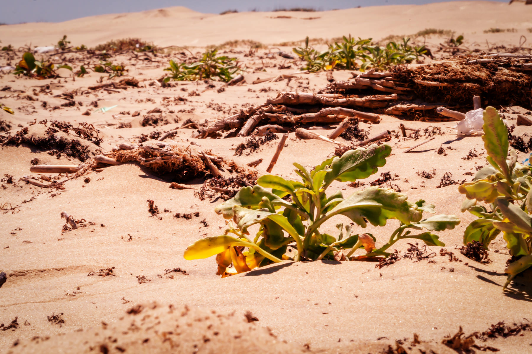 Plants and driftwood covering the South Padre Island, Texas sand dunes.