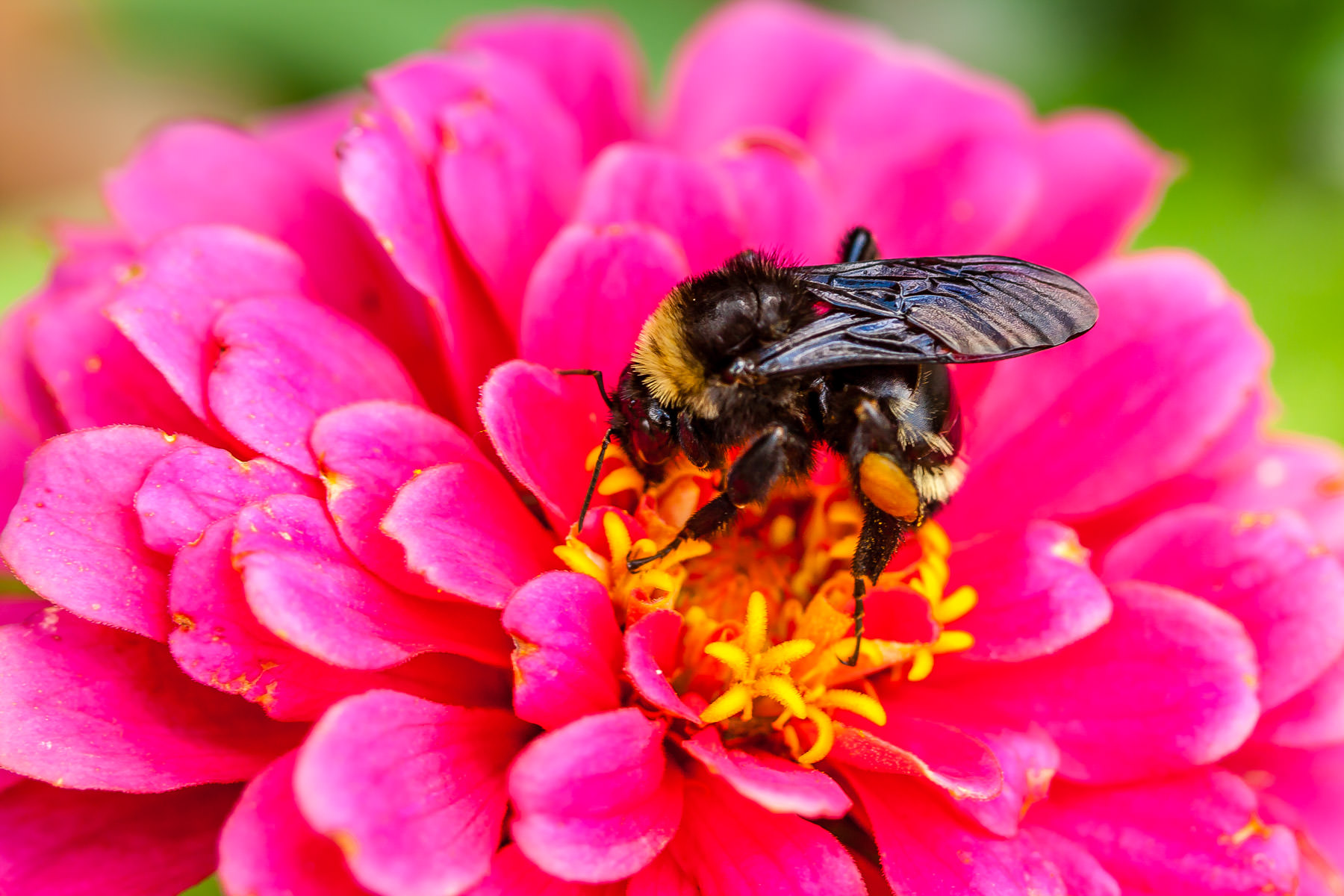 A bee collects pollen from a flower in College Station, Texas.