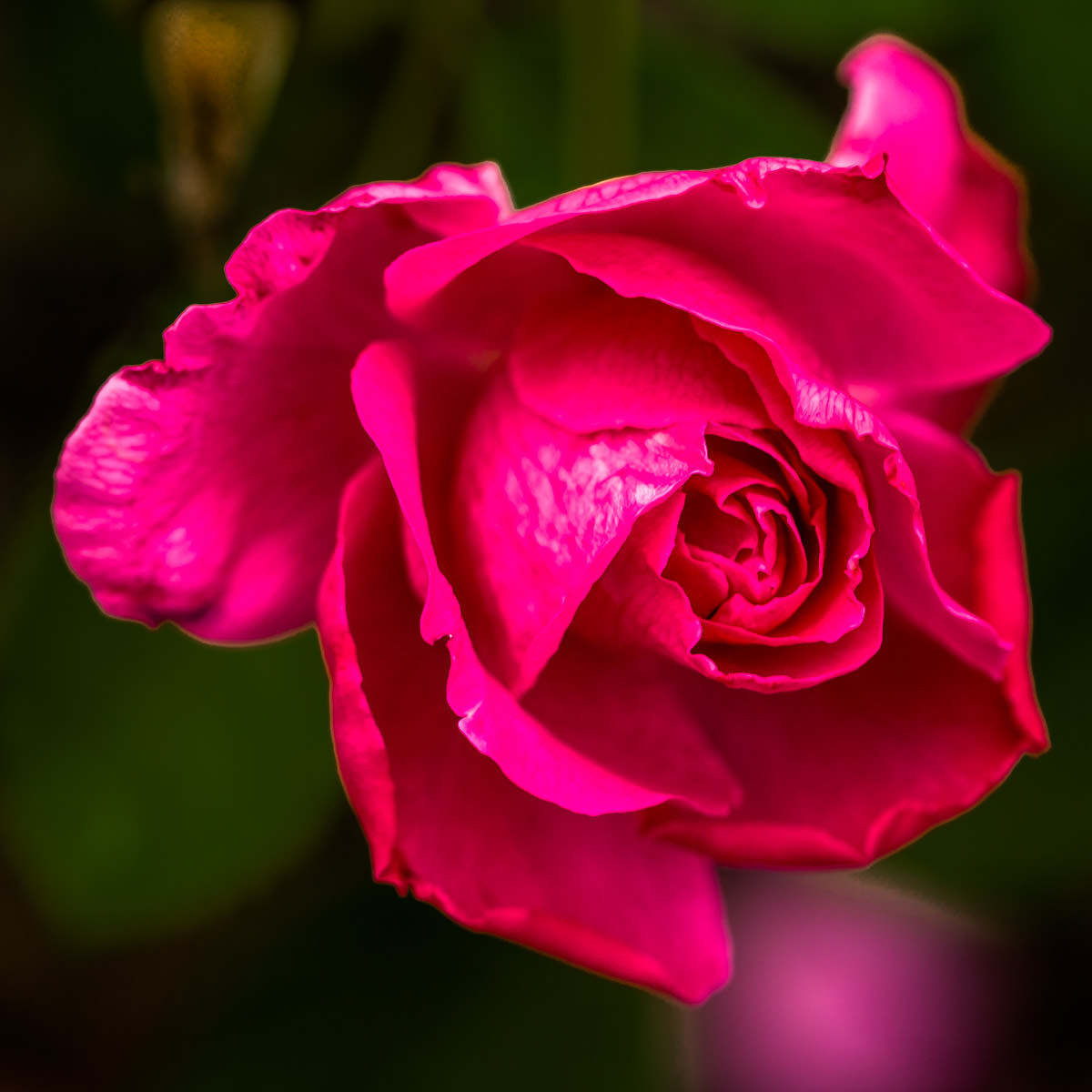 A rose spotted at Texas A&M University, College Station, Texas.