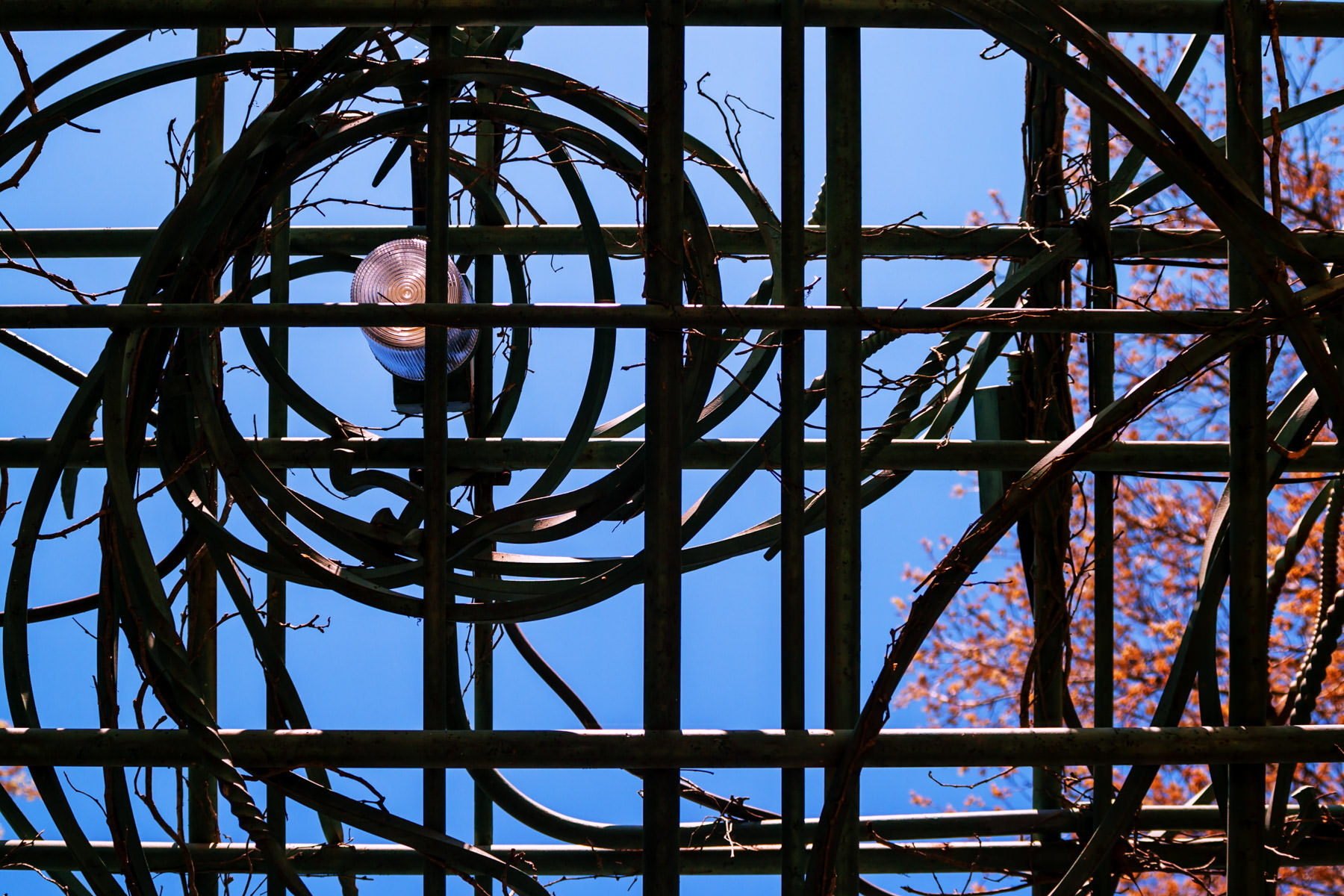 Grape vines and a solitary light atop a lattice at the Dallas Arboretum.
