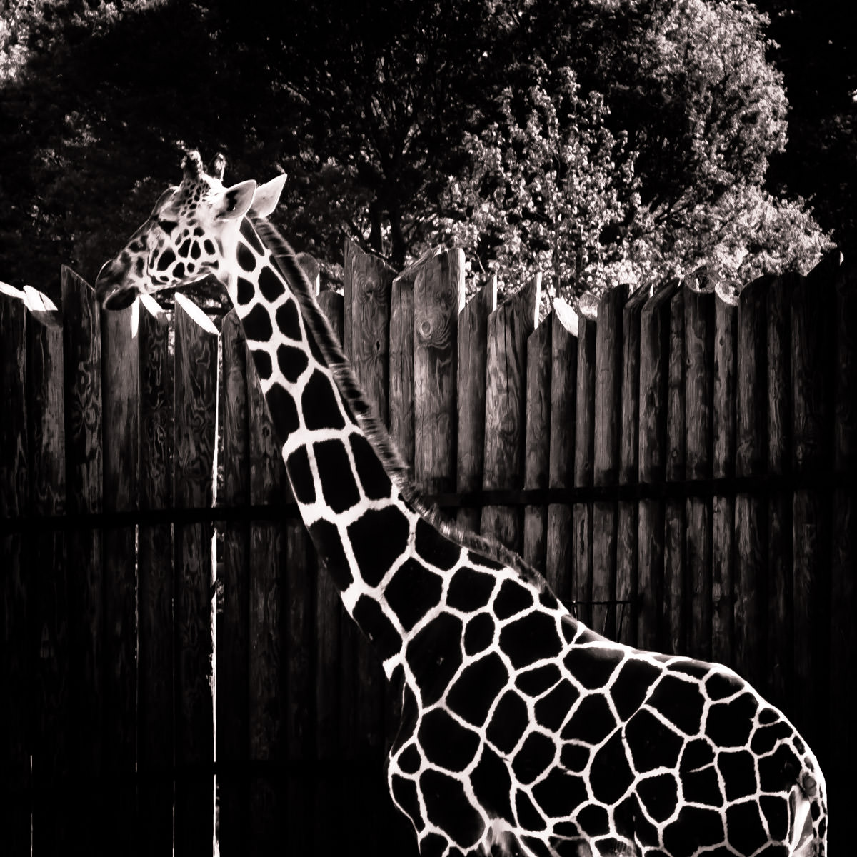 The bold pattern of this giraffe's coat stands out in this photo taken at Tyler, Texas' Caldwell Zoo.