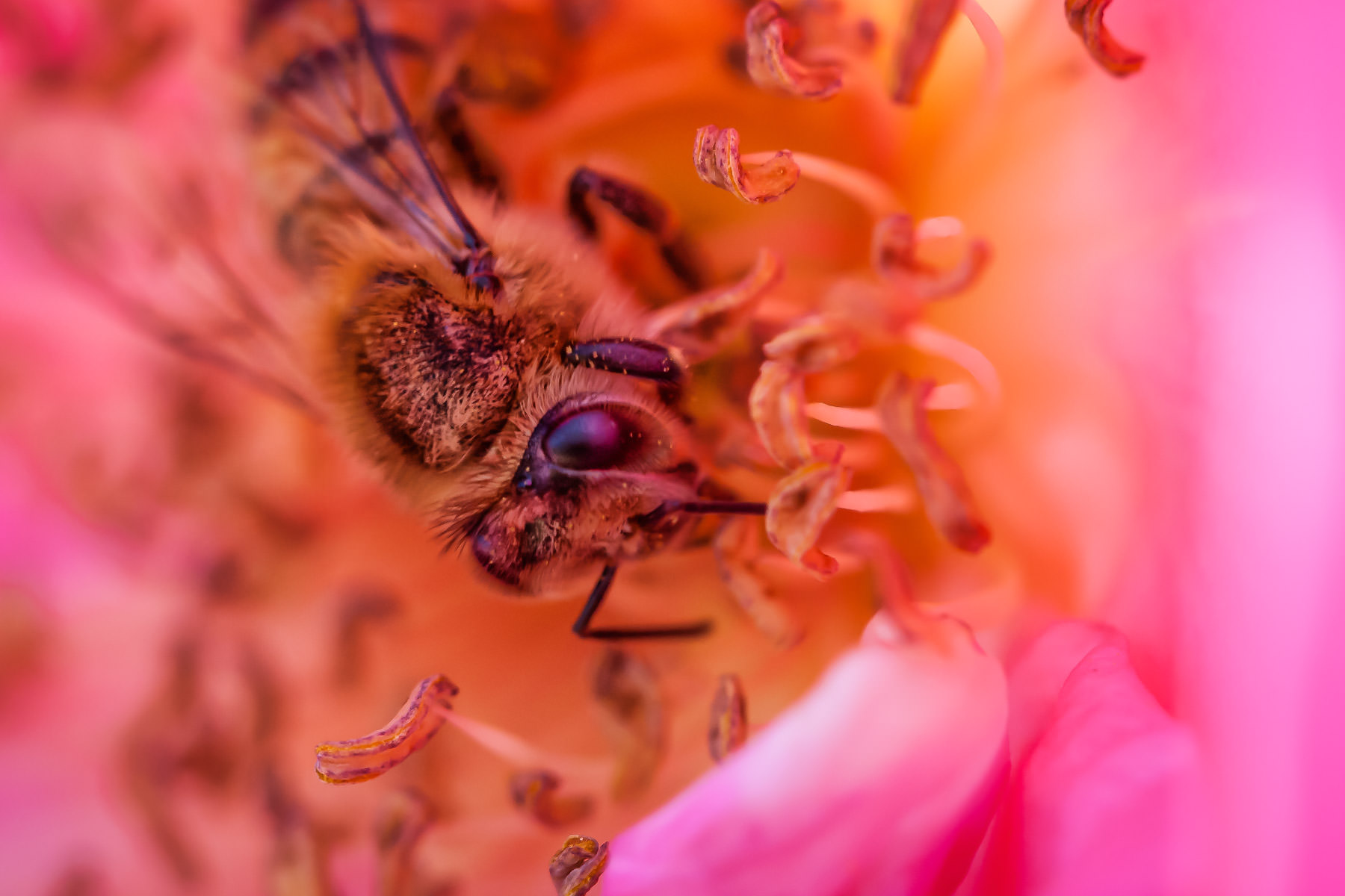 A bee gathers pollen at the Fort Worth Botanic Gardens.