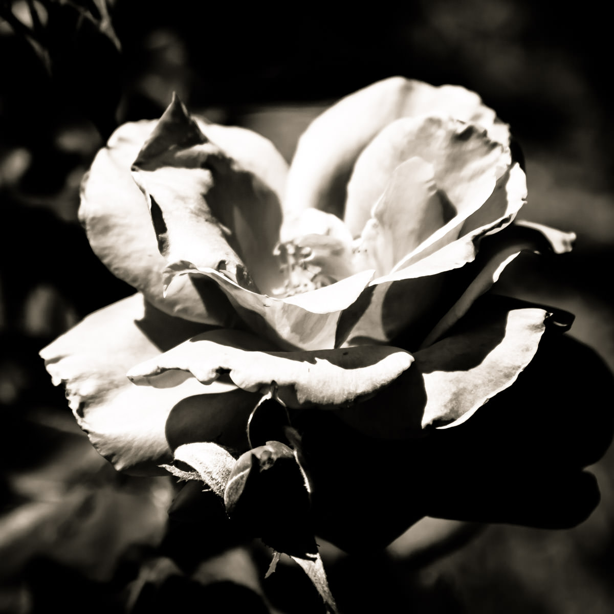 Detail of a rose spotted at the Fort Worth Botanic Garden, Texas.