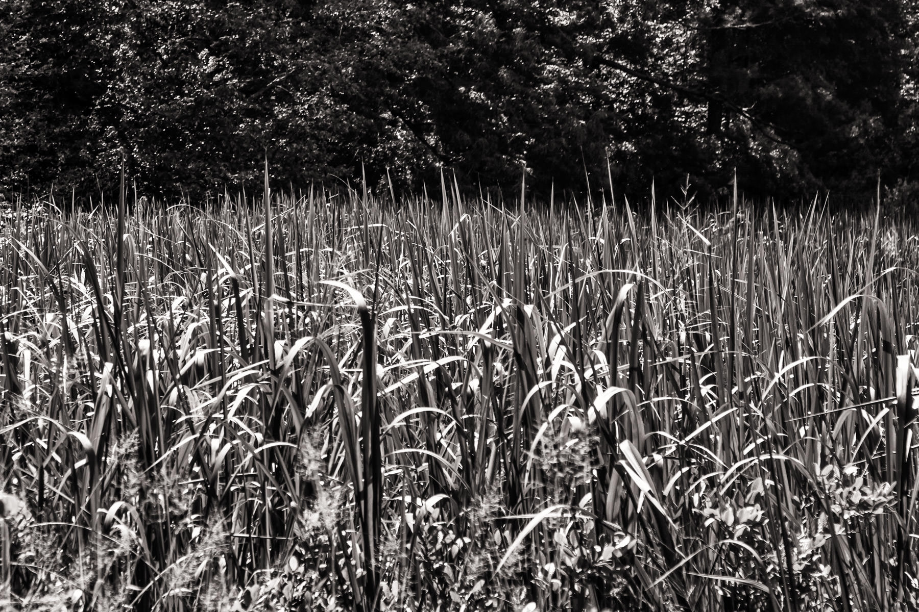 Tall grass and reeds grow at Tyler State Park, Texas.