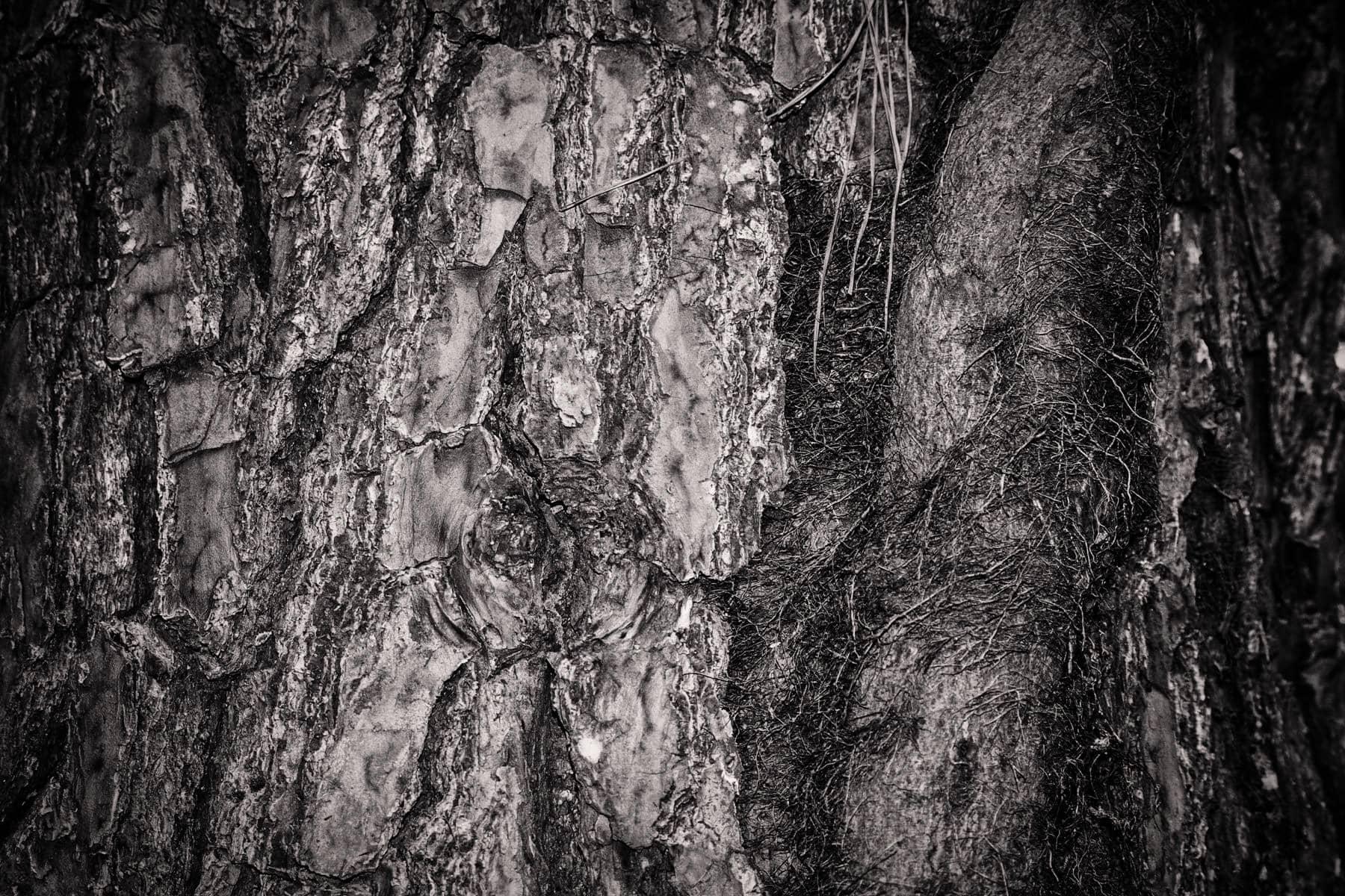 tyler state park pine tree bark