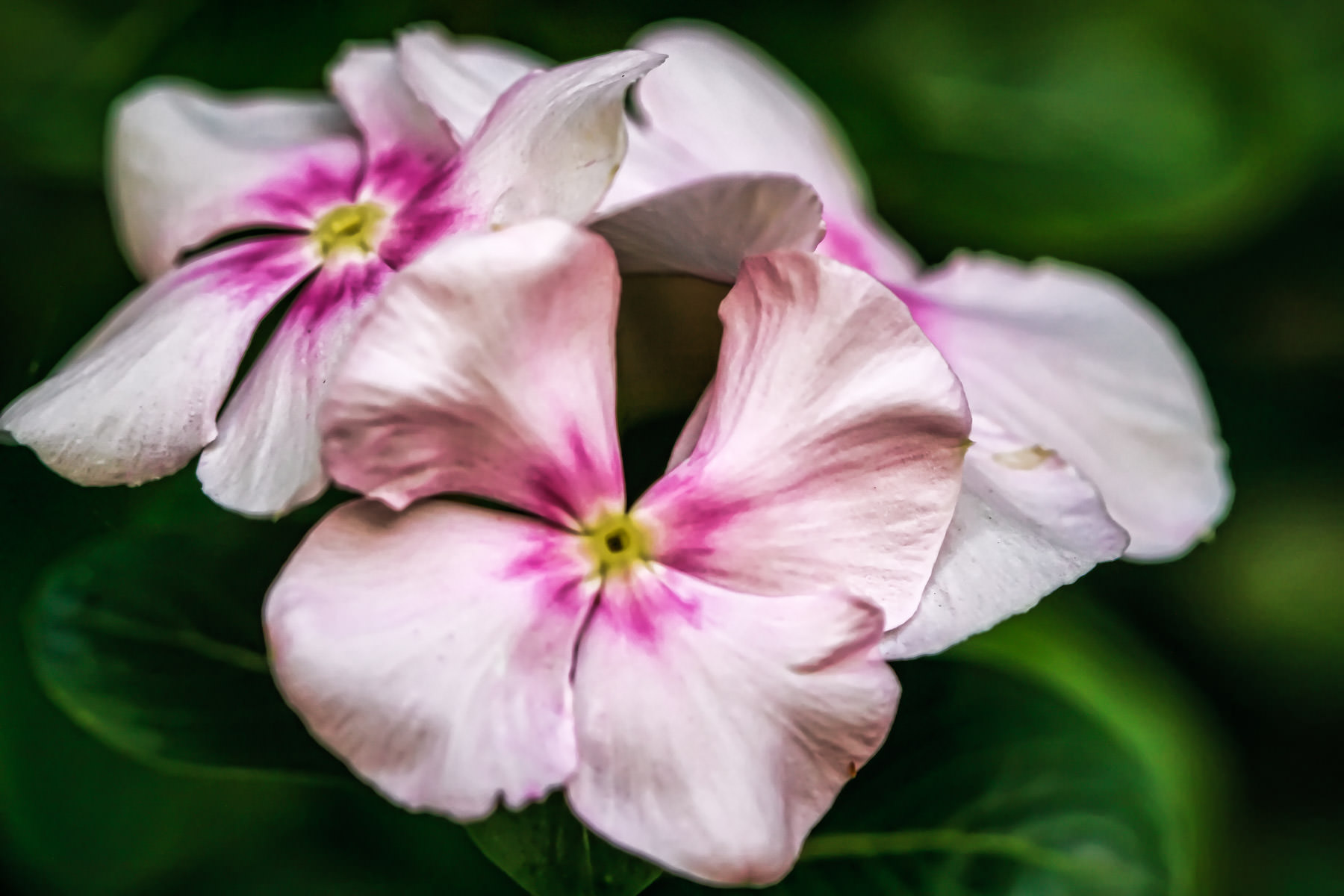 Three pink and white flowers I found in my mother's garden.