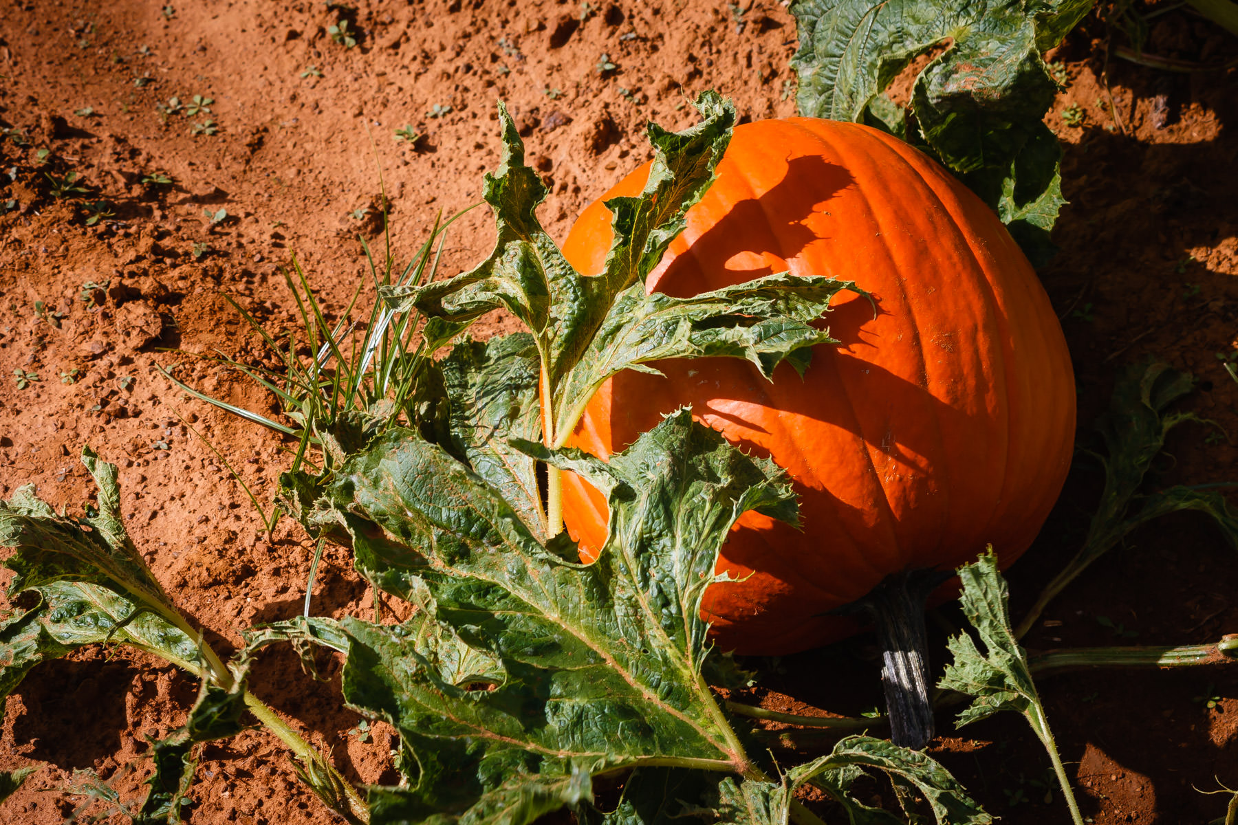 A pumpkin waits to be picked at Moore Farms, Bullard, Texas.