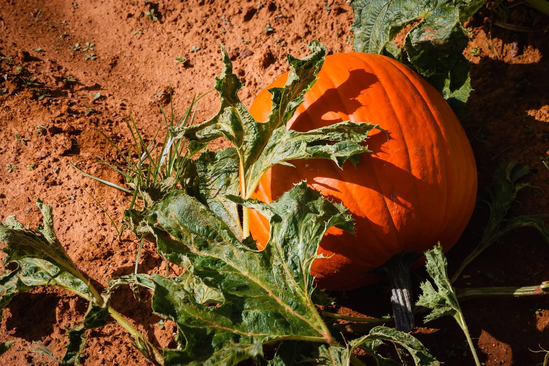 A pumpkin waits to be picked at Moore Farms, Bullard, Texas.