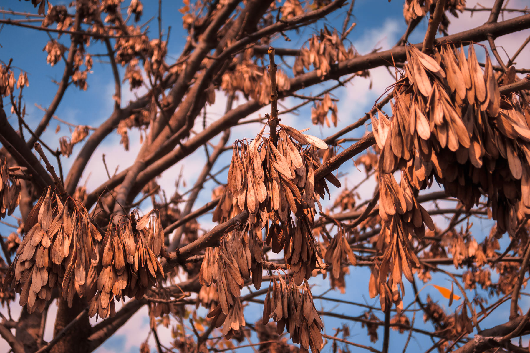 Leaves on this Plano, Texas, tree droop as they get close to falling to the ground.