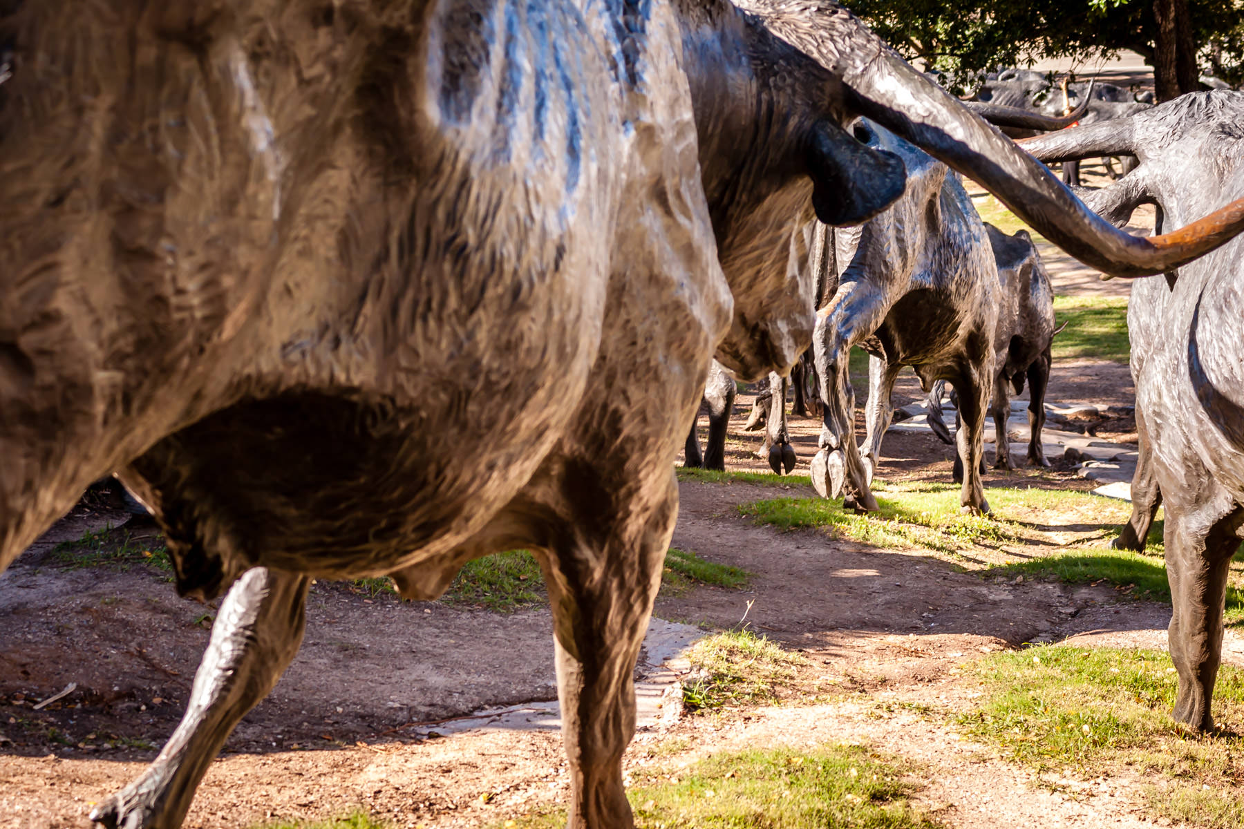A herd of bronze cow statues meanders through Dallas' Pioneer Plaza.
