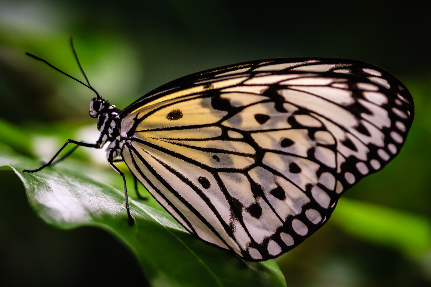 A black and white butterfly at Houston's Cockrell Butterfly Center.