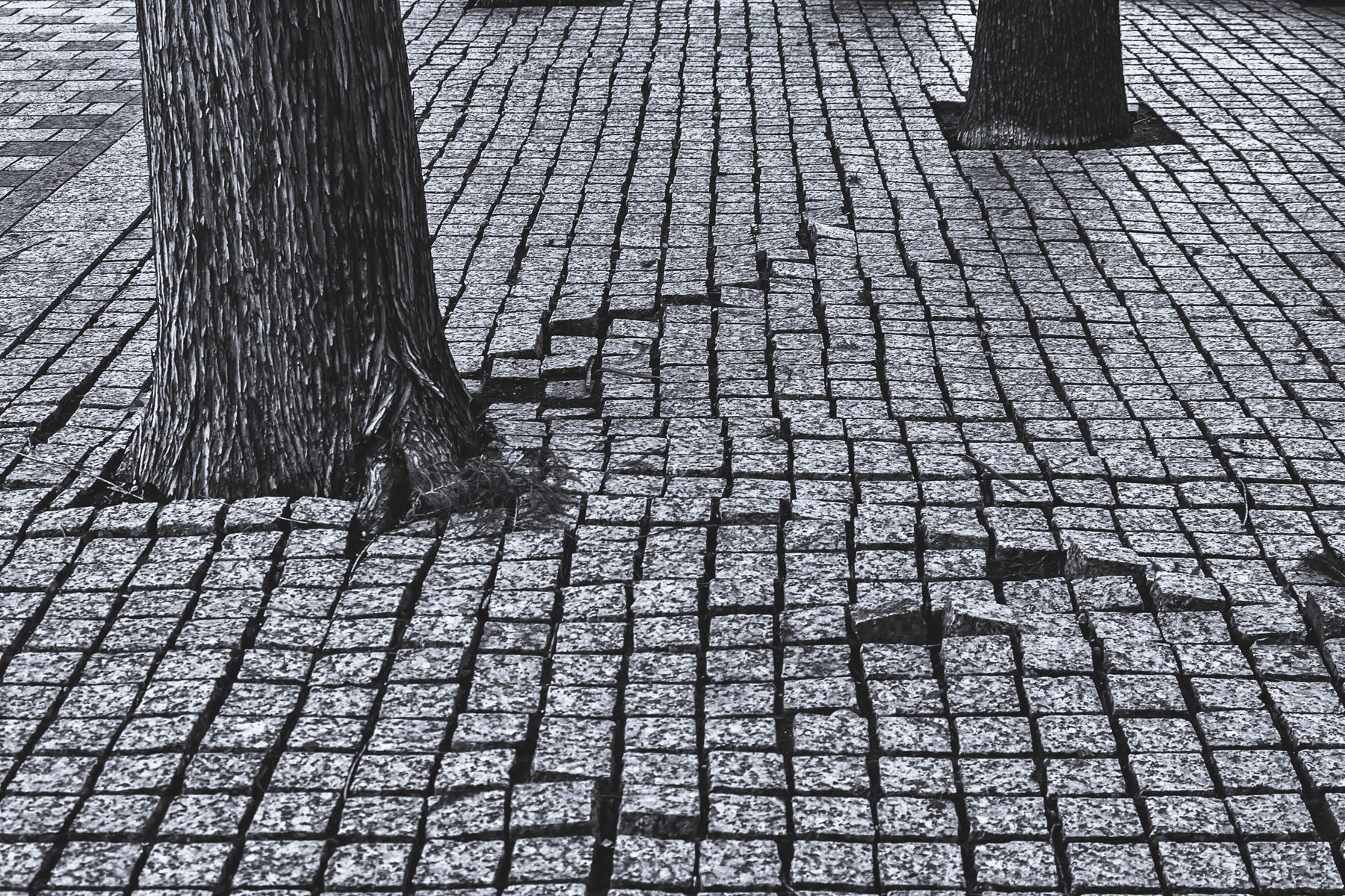 Granite paving stones disturbed by tree roots in Downtown Dallas, Texas.