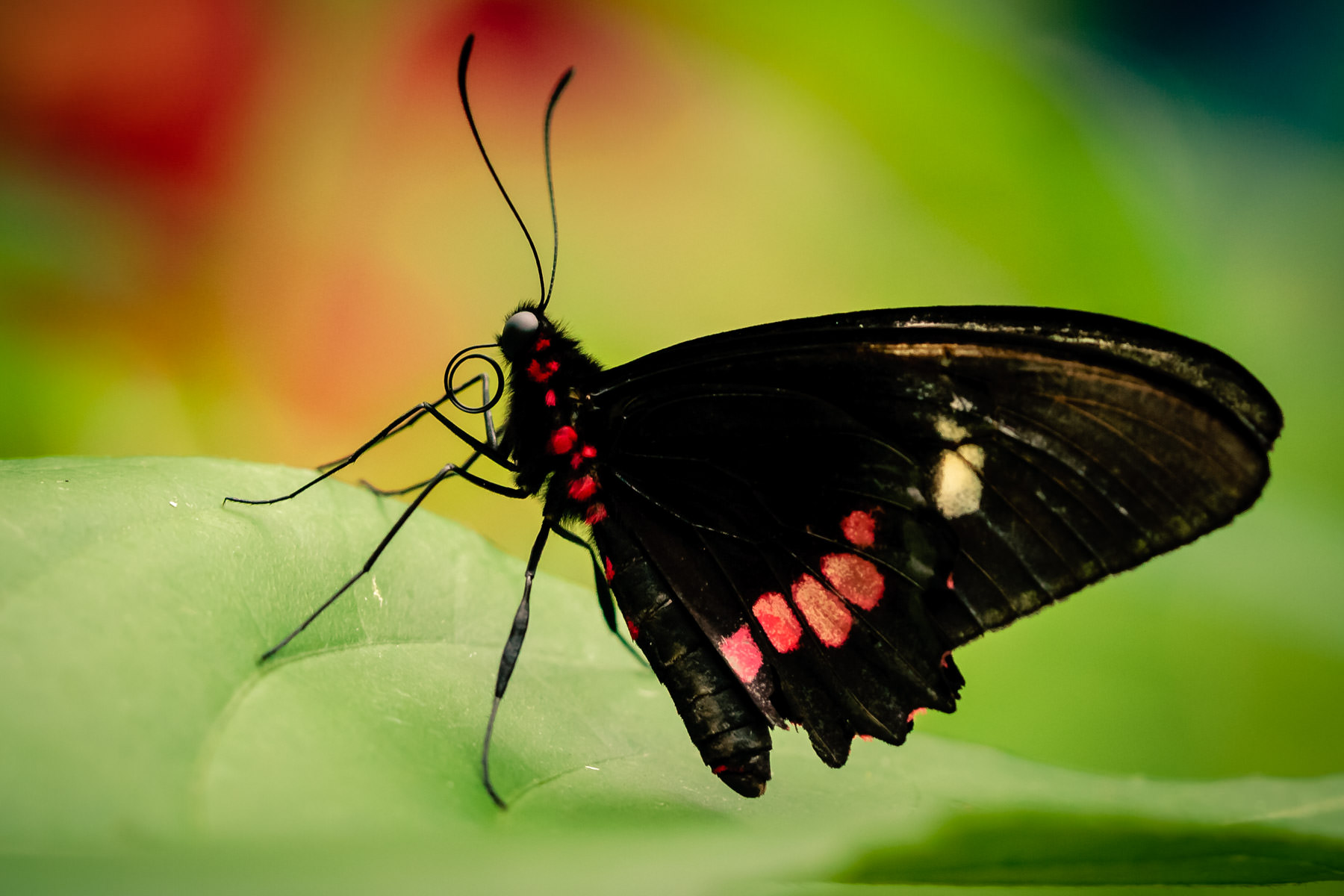 A black butterfly at Houston's Cockrell Butterfly Center.