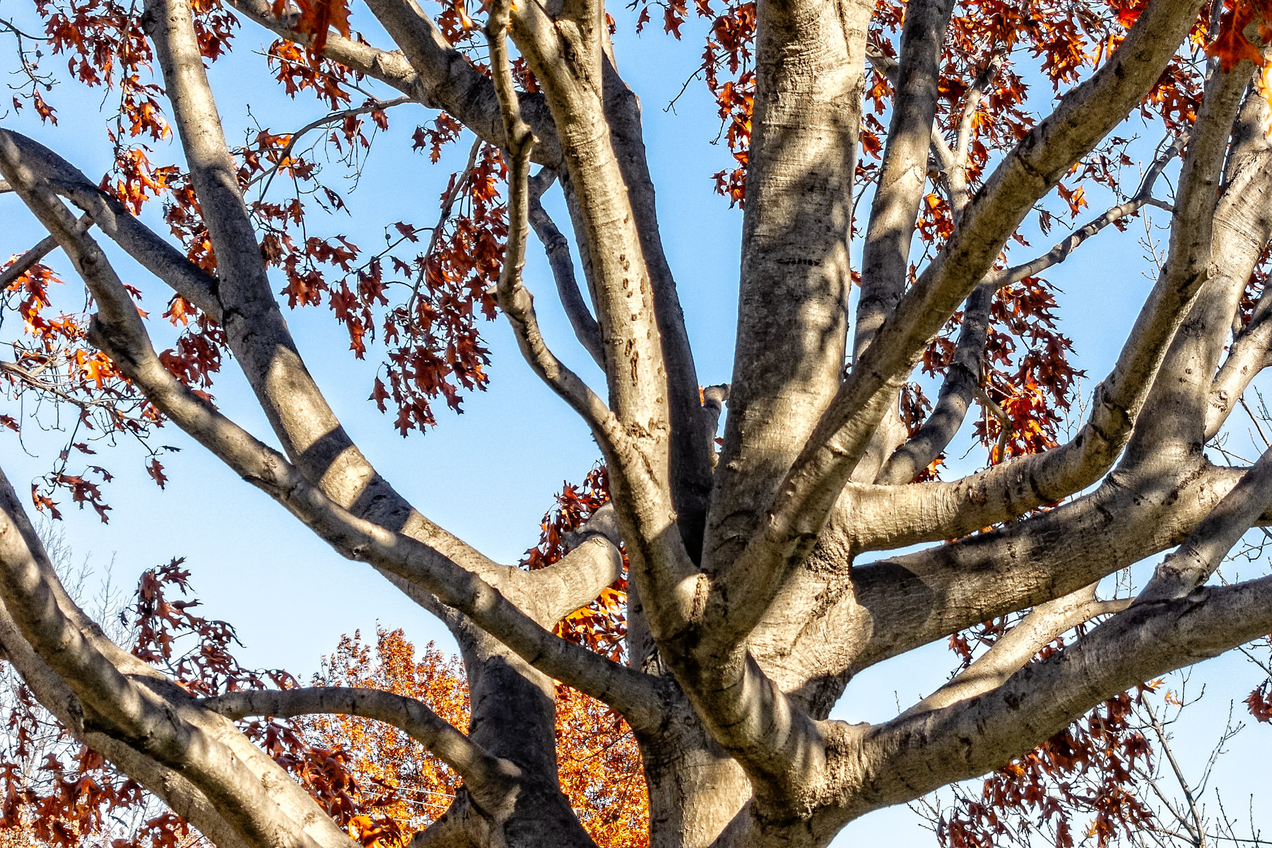 Branches on a tree in Irving, Texas.