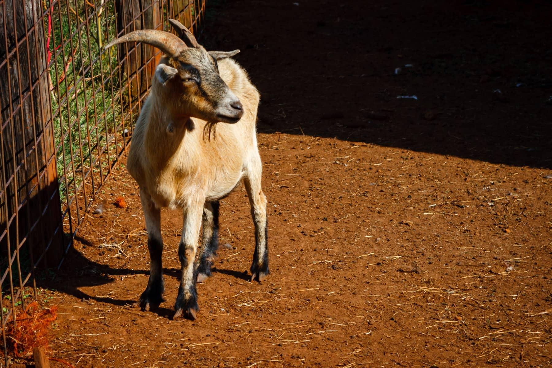 A goat found at Moore Farms, Bullard, Texas.