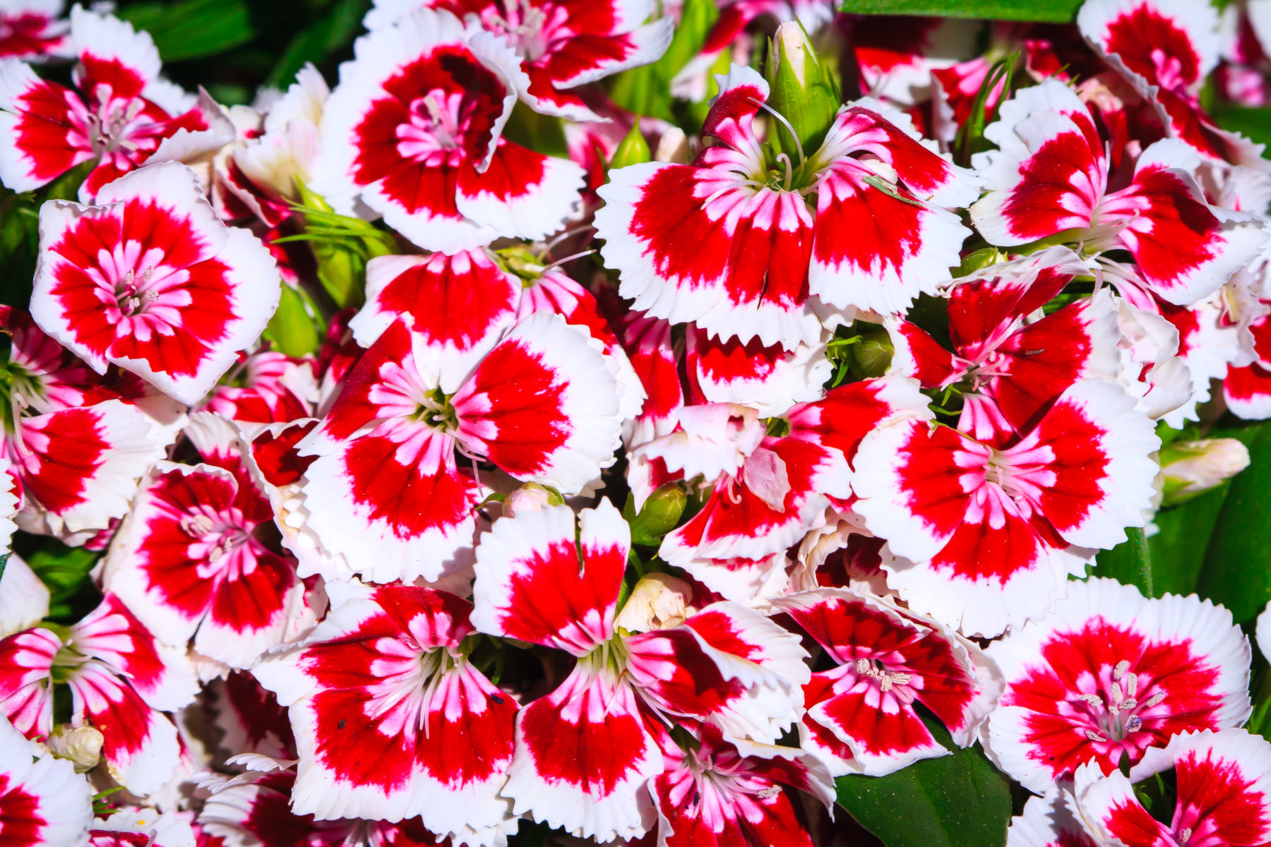 Flowers at the Dallas Arboretum.