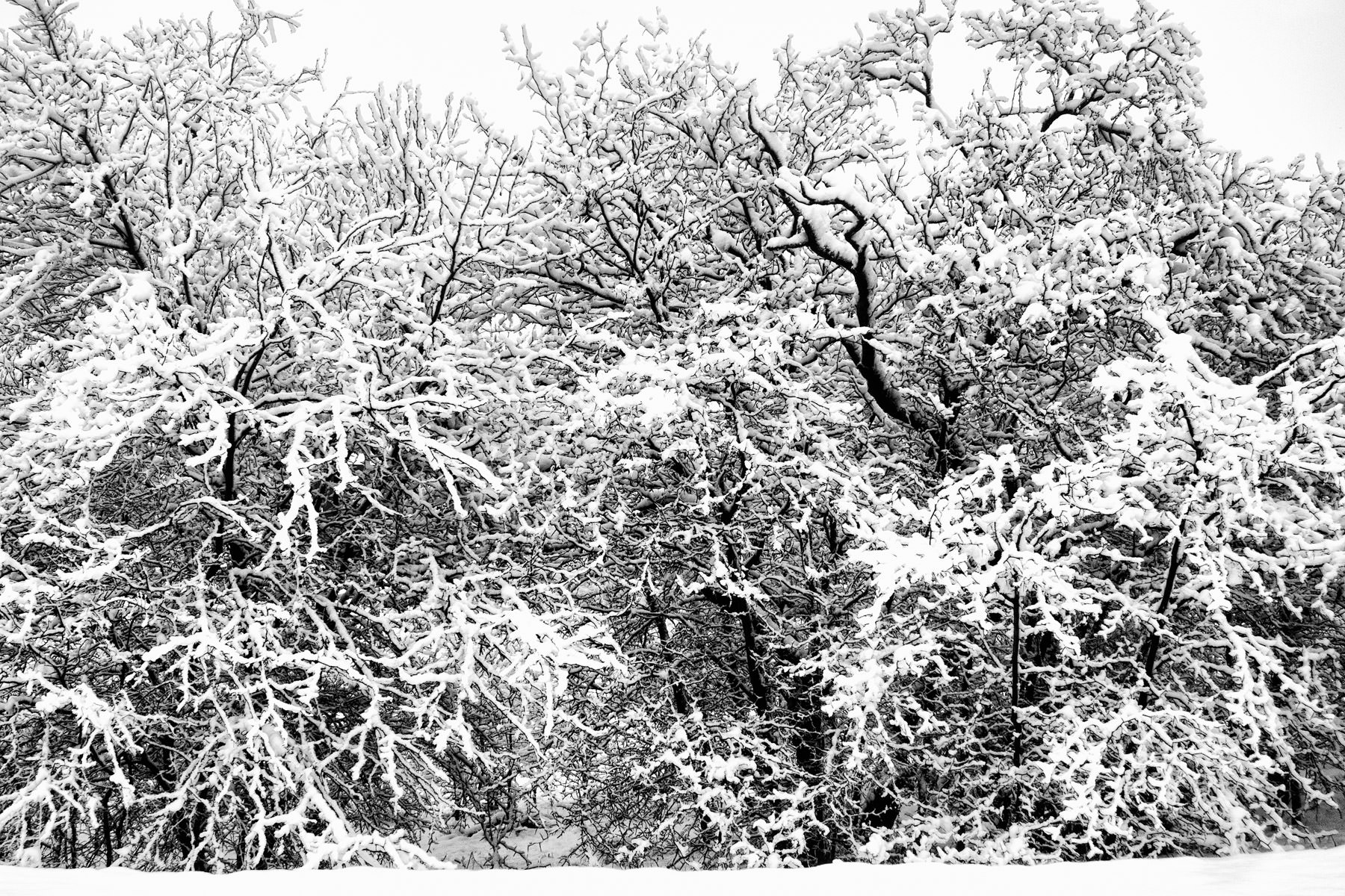 Snow covers the branches of trees in Irving, Texas.