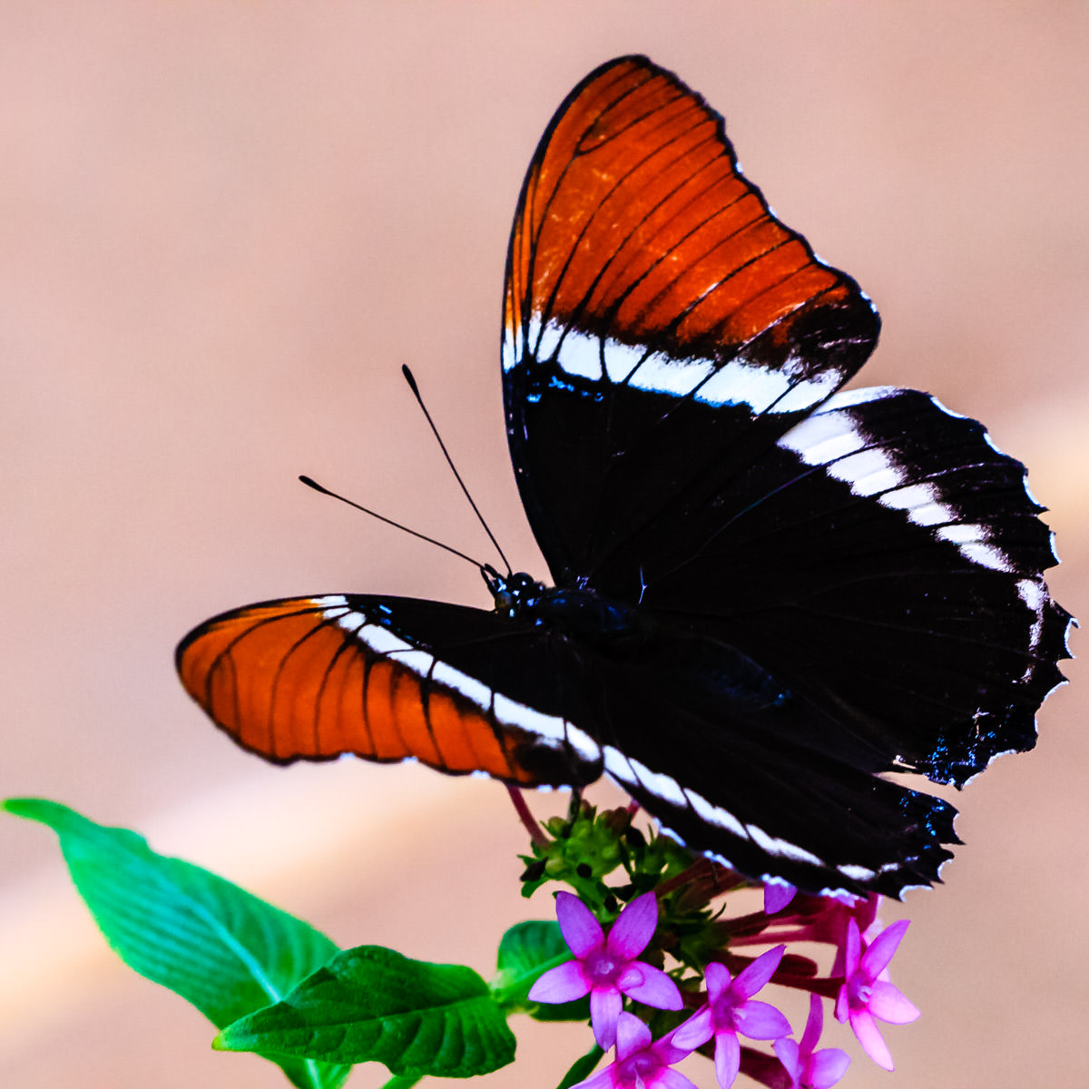A butterfly at the Rosine Smith Sammons Butterfly House at the Texas Discovery Gardens, Fair Park, Dallas.