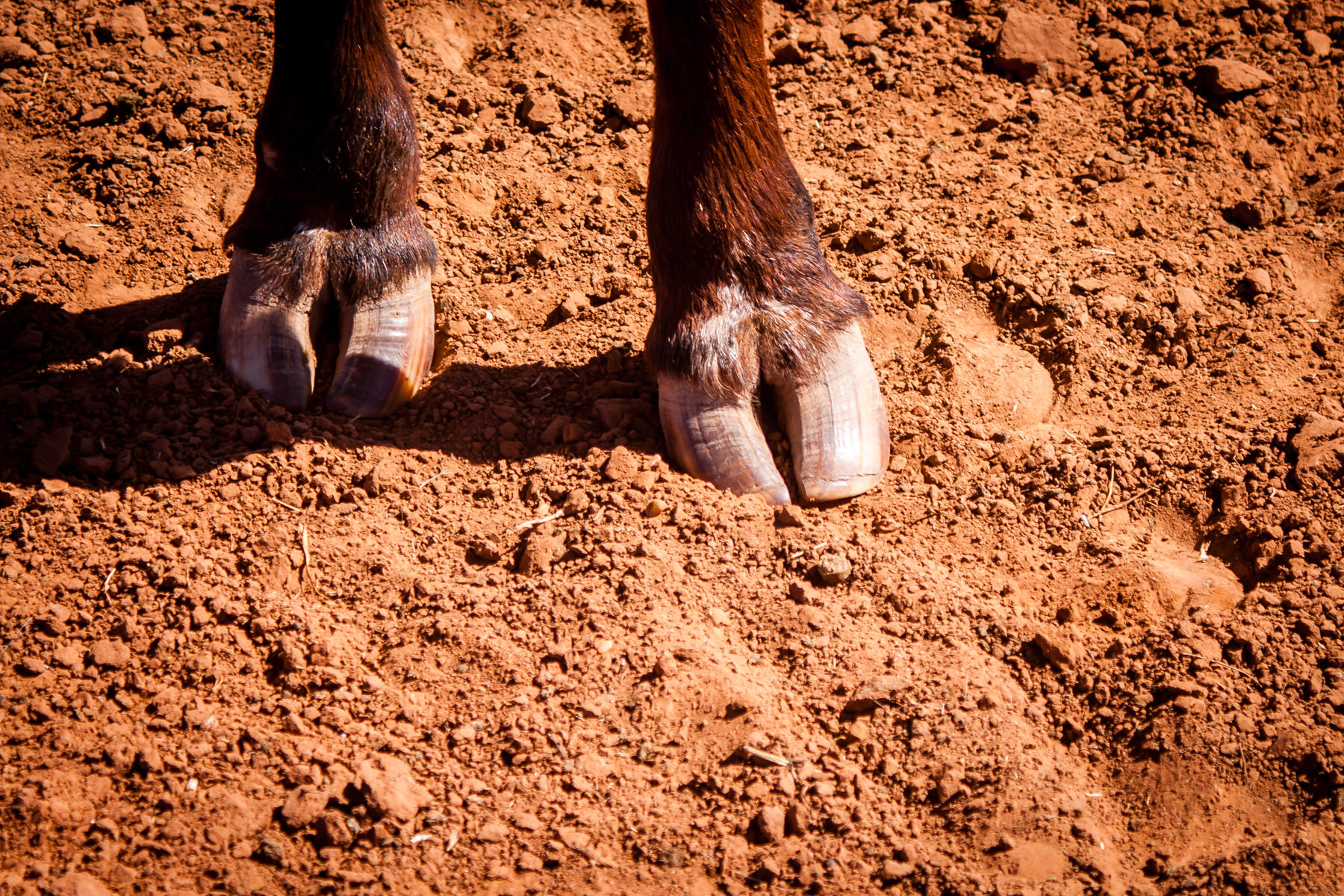 The front hooves of a longhorn steer at Copper Breaks State Park, Texas.
