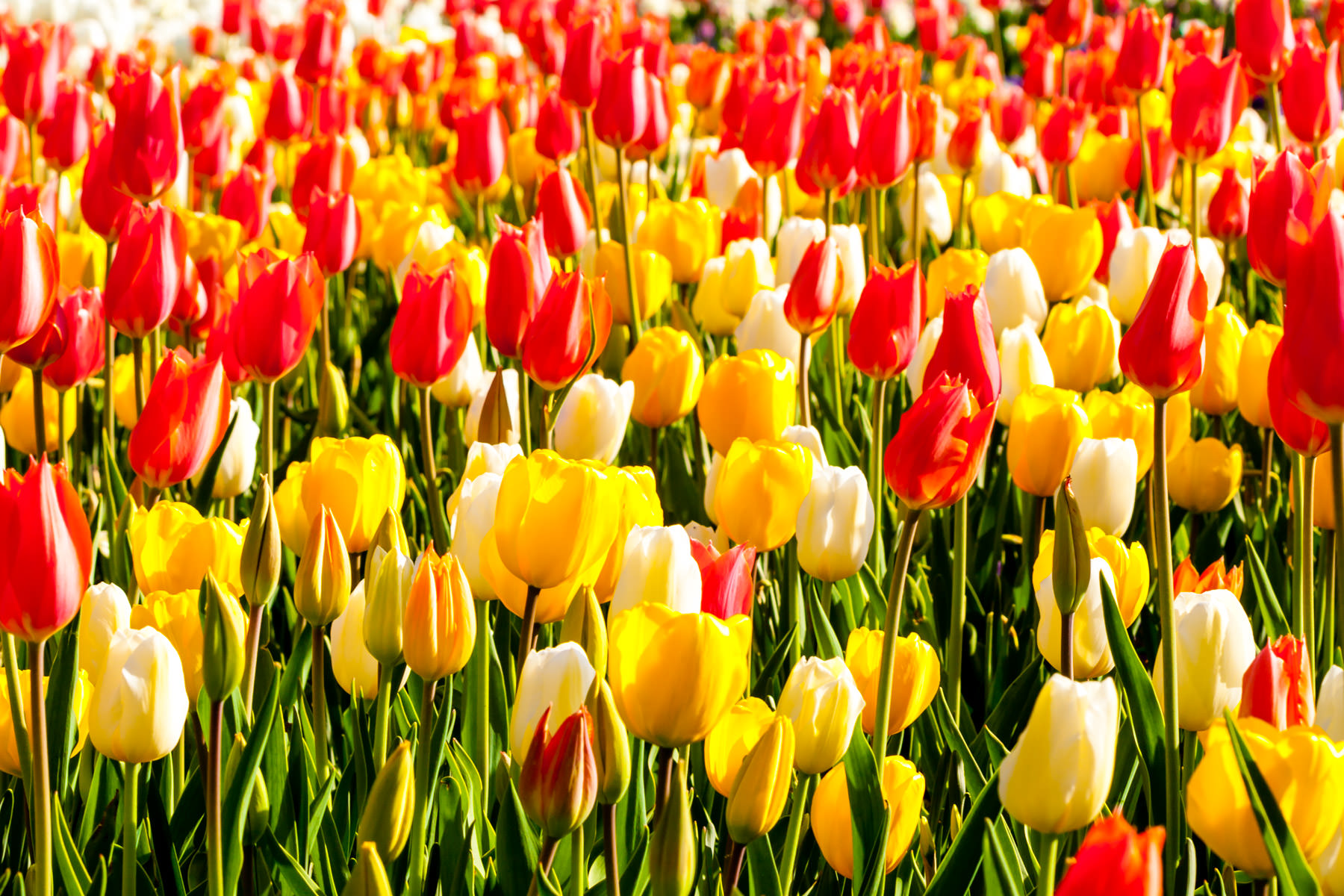 A field of tulips at the Dallas Arboretum.