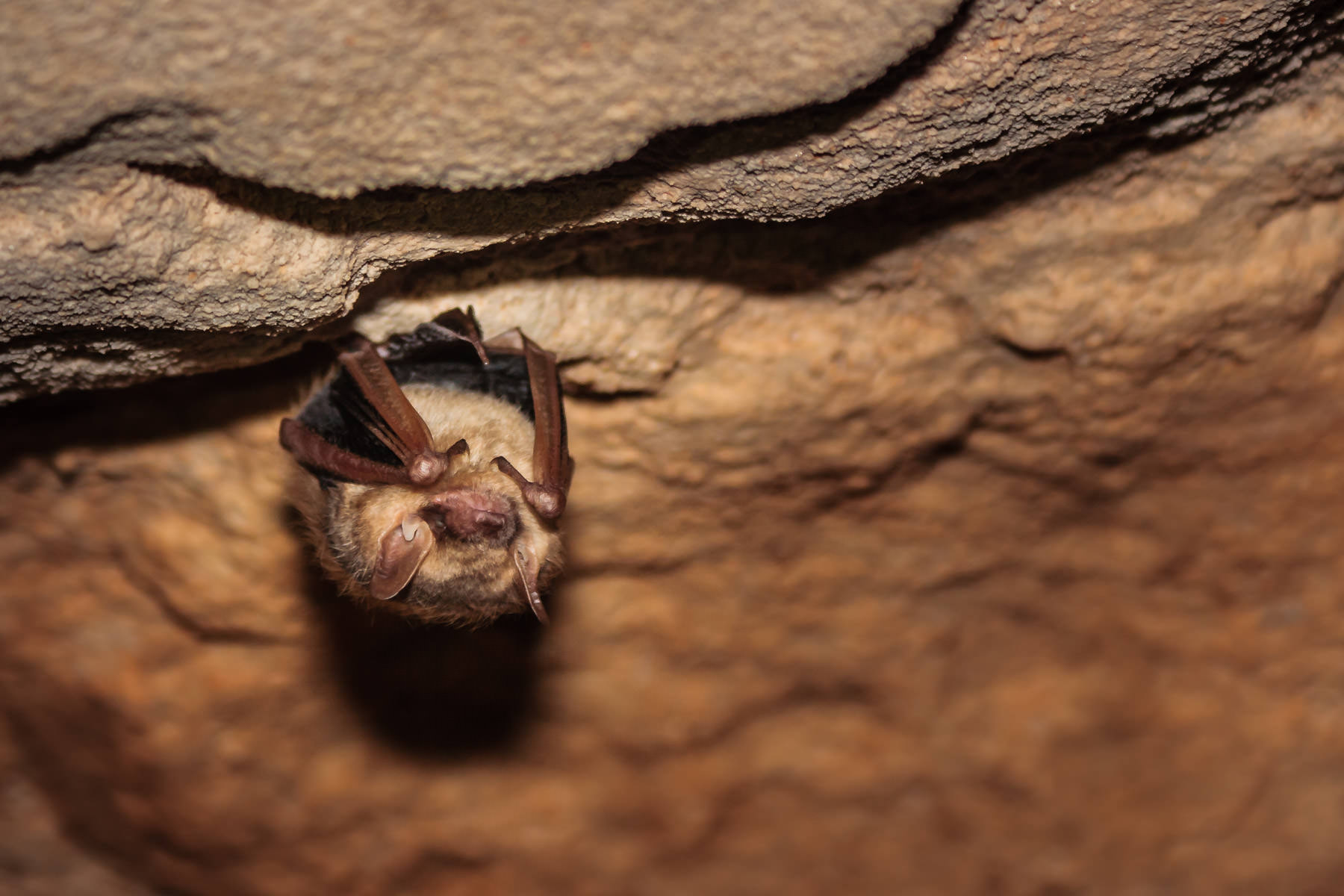 An Eastern Pippistrelle bat sleeping in Inner Space Cavern, Georgetown, Texas. These bats, also known as Butterfly Bats, are the second-smallest species of bat in the United States.