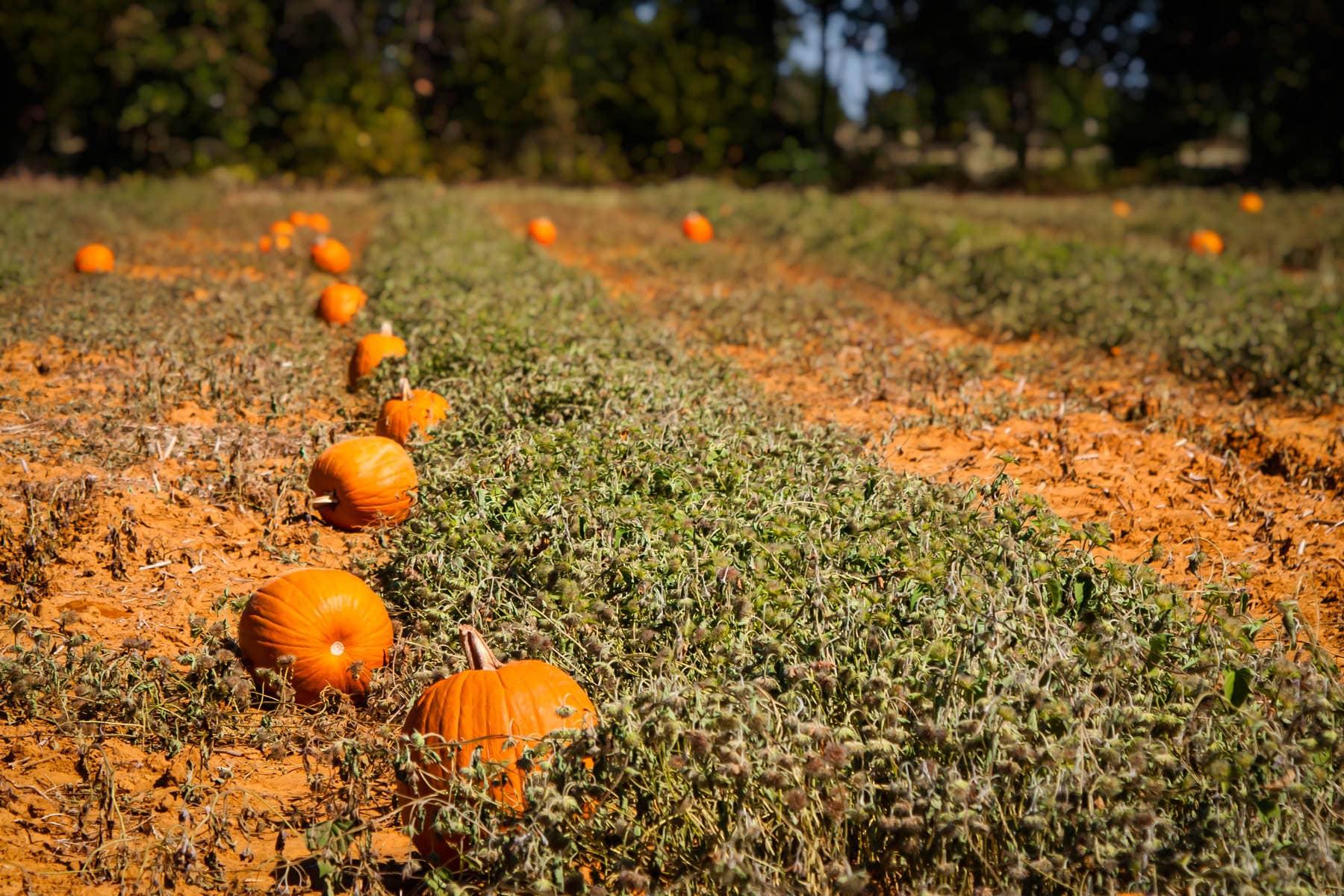 A seasonal pumpkin patch at Moore Farms, Bullard, Texas.