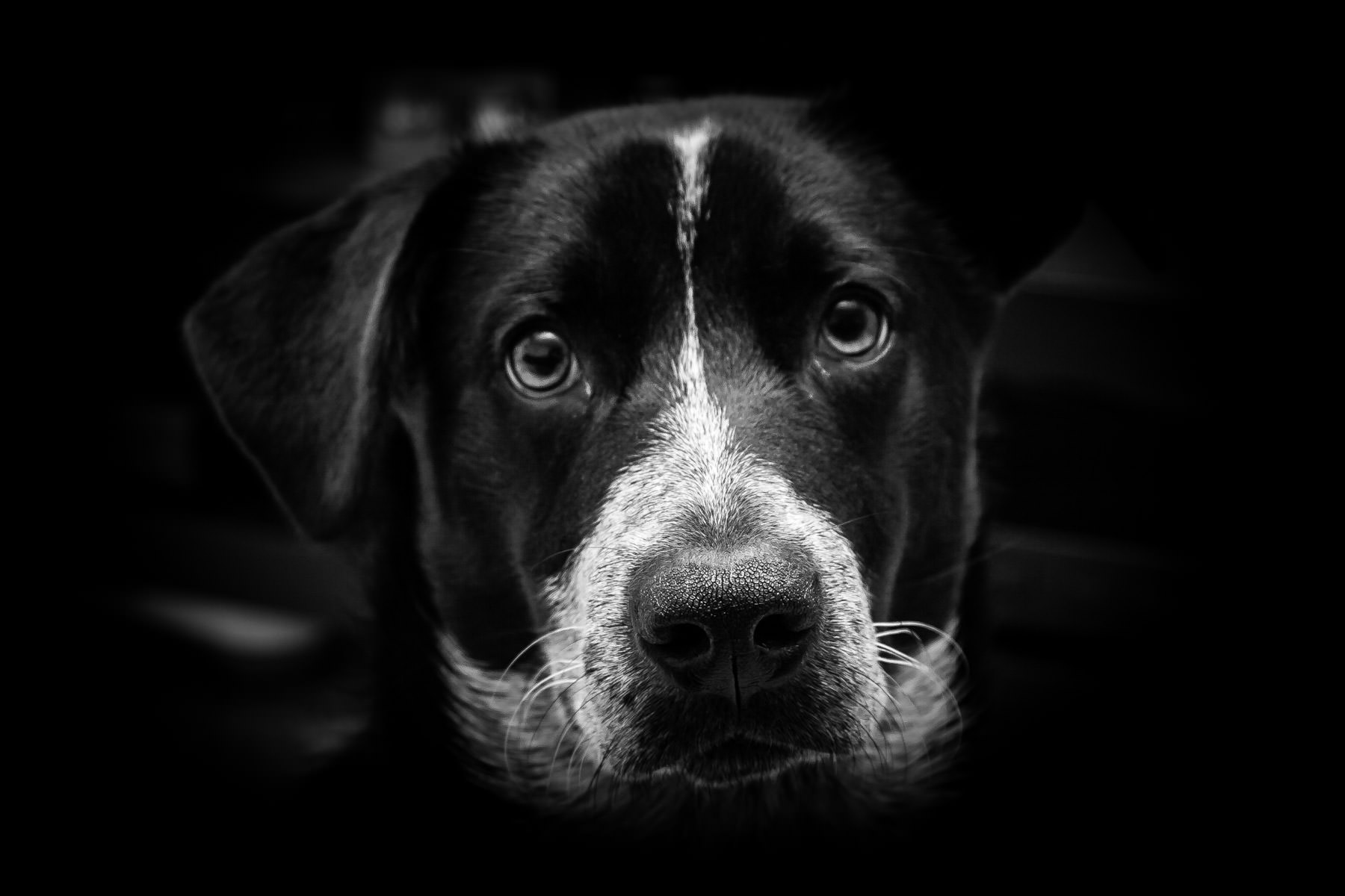black and white dog nose snout eyes