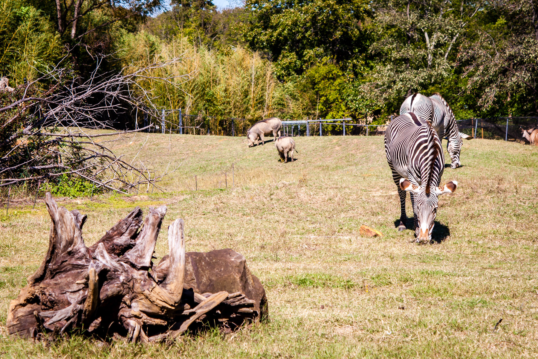 Warthogs and zebras feeding on grass at Tyler, Texas' Caldwell Zoo.