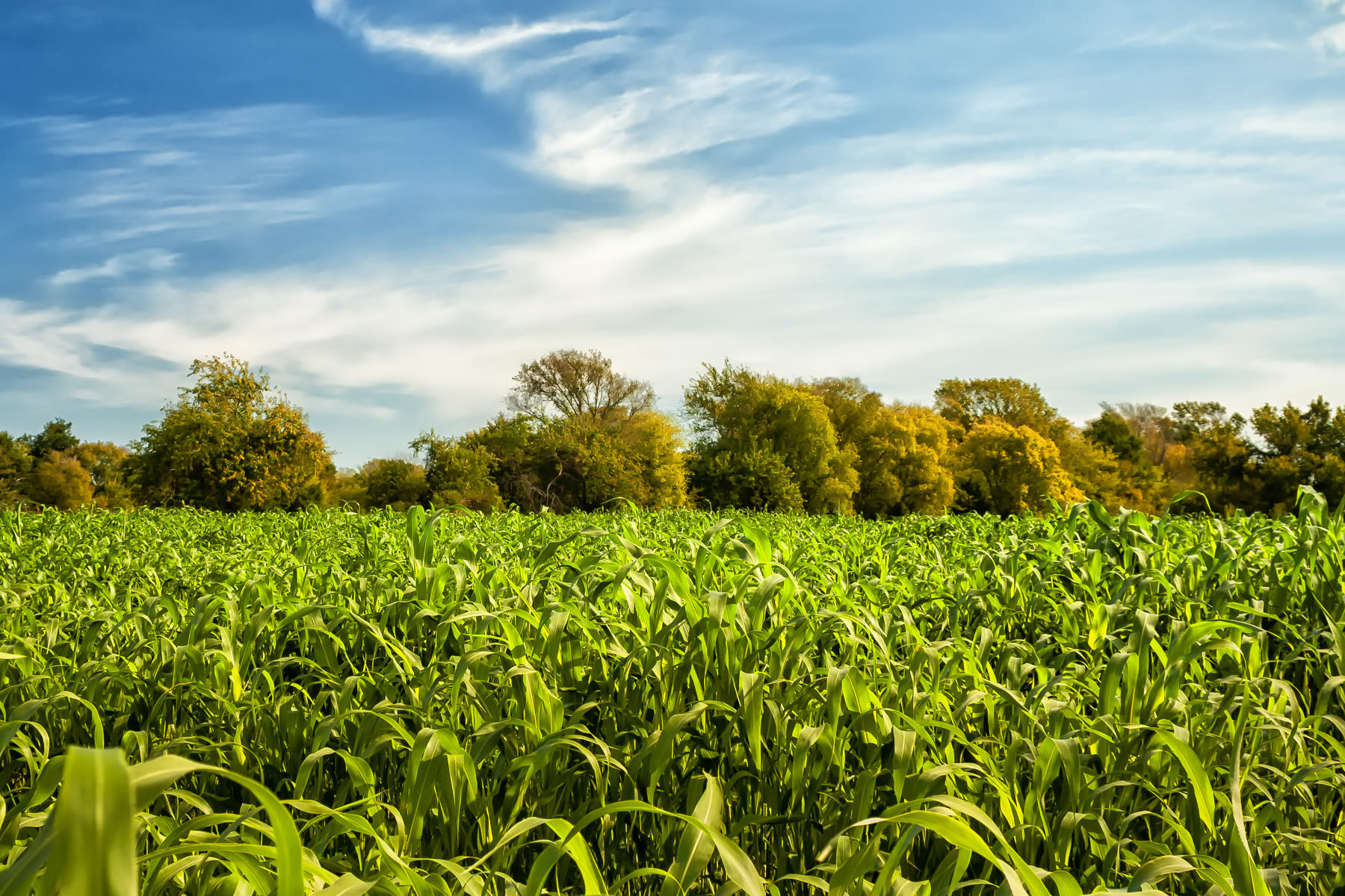 A cornfield at Moore Farms, Bullard, Texas.