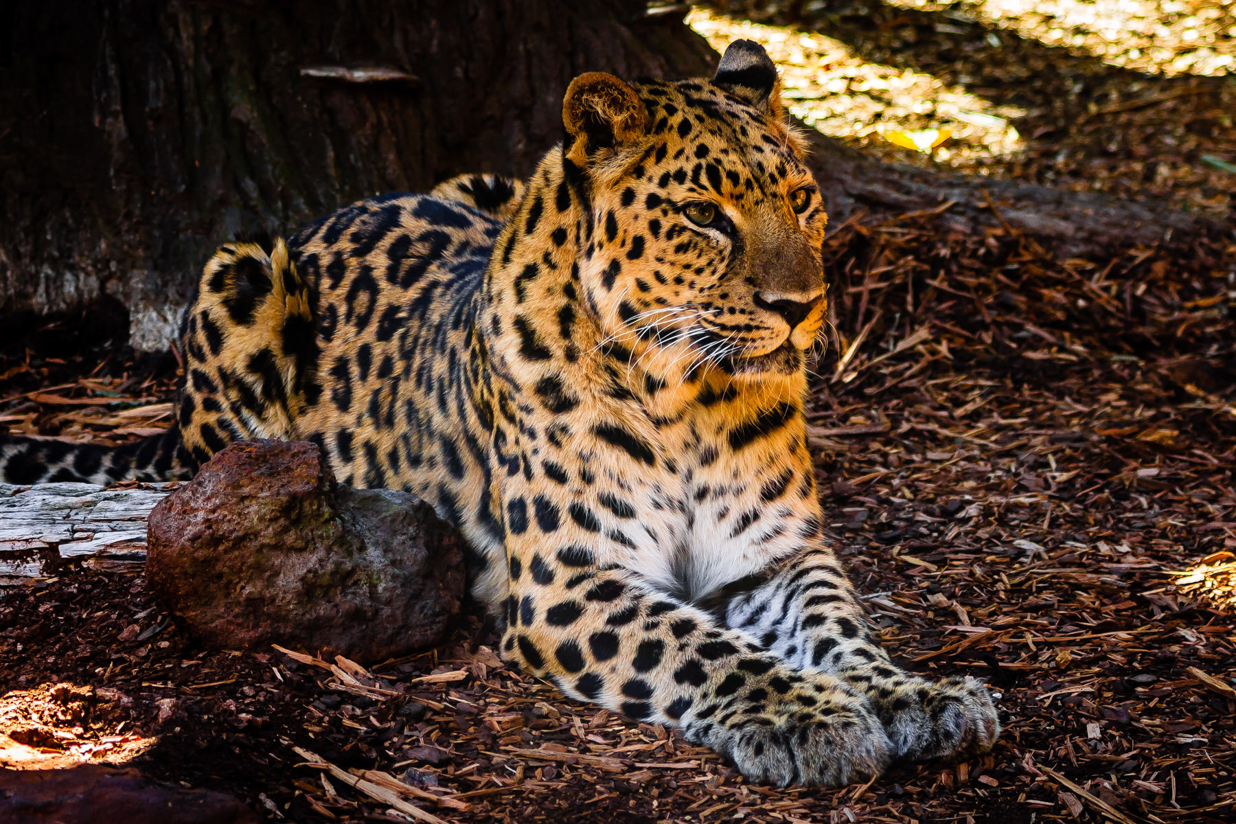 "A leopard ""spotted"" at Caldwell Zoo, Tyler, TX."