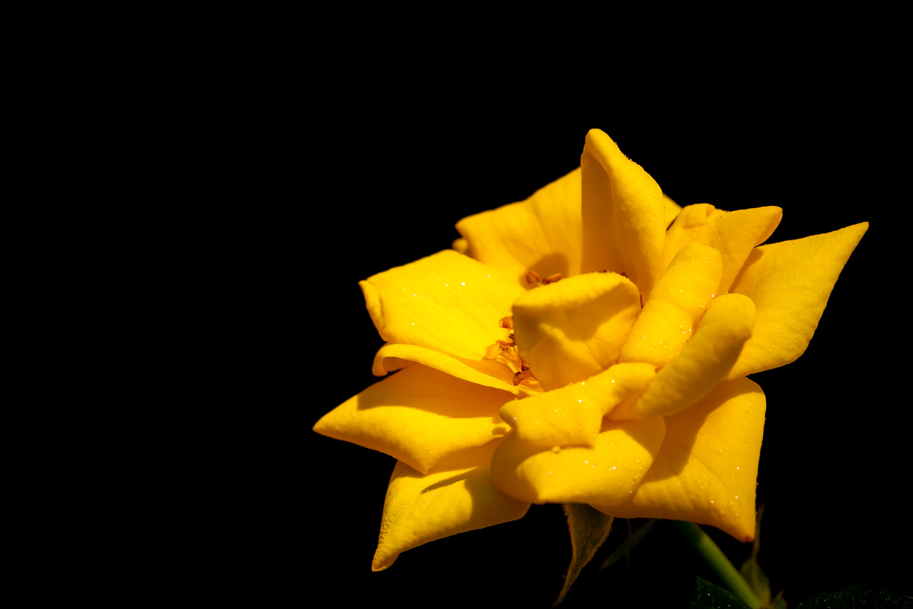 A yellow rose greets the Springtime sun in Addison, Texas.