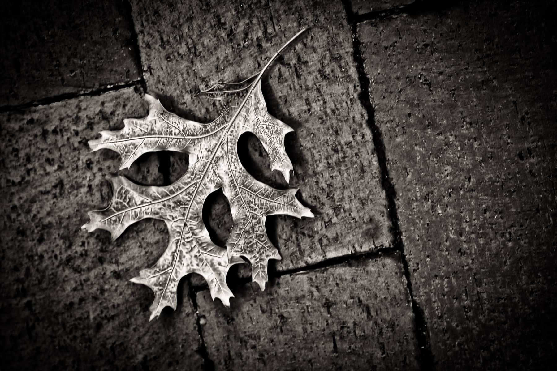 A dead leaf lying on a sidewalk on a warm Spring day in Addison, Texas.