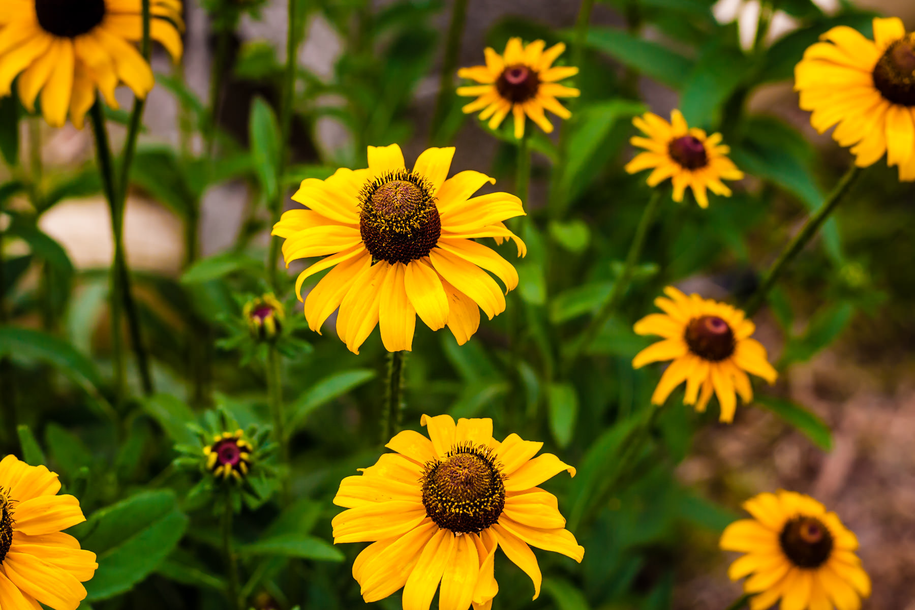 A group of black-eyed-susans spotted somewhere in East Texas.