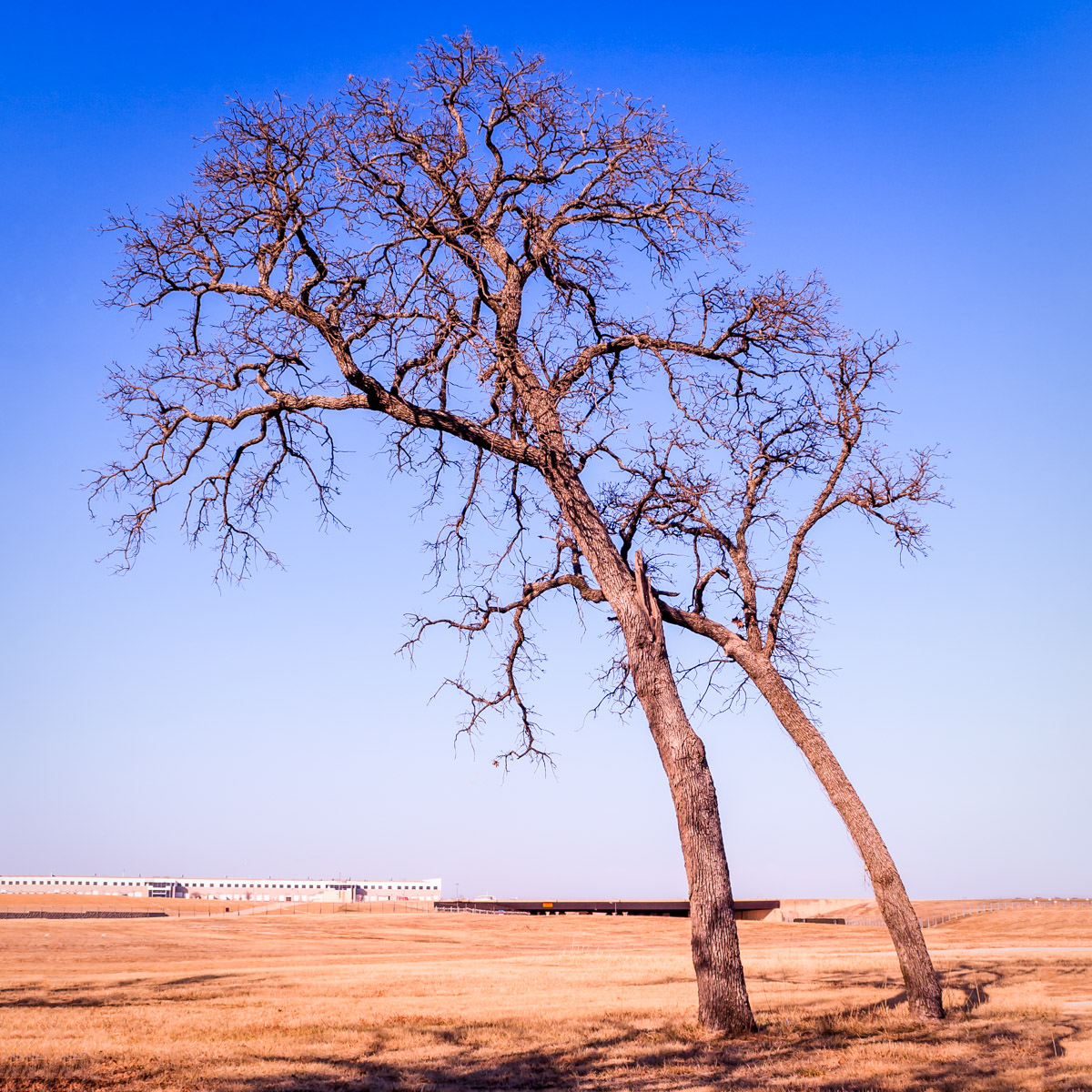 These presumably wind-swept trees were spotted at on the outlying property of DFW International Airport.