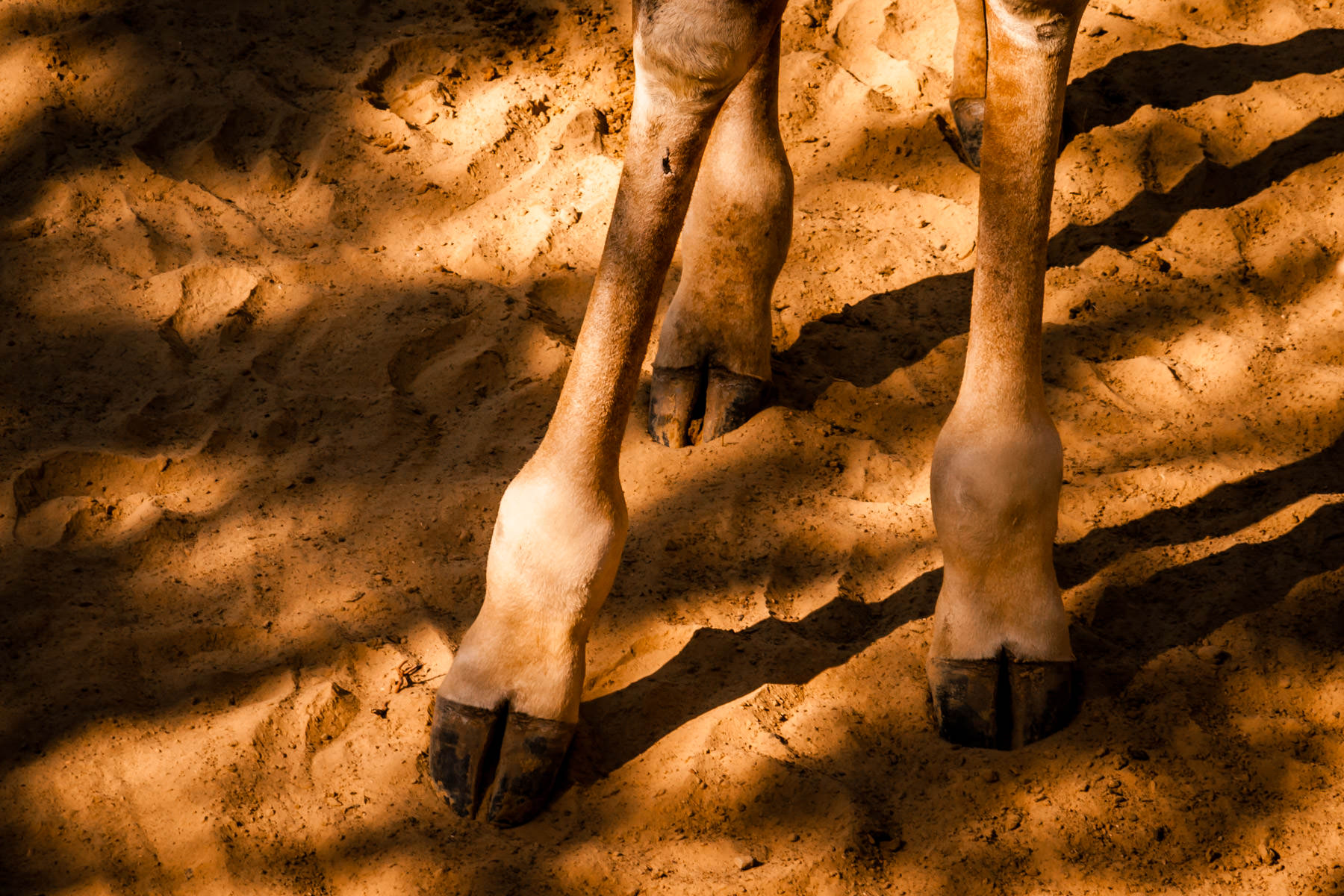 A giraffe's hooved feet spotted at the Dallas Zoo.