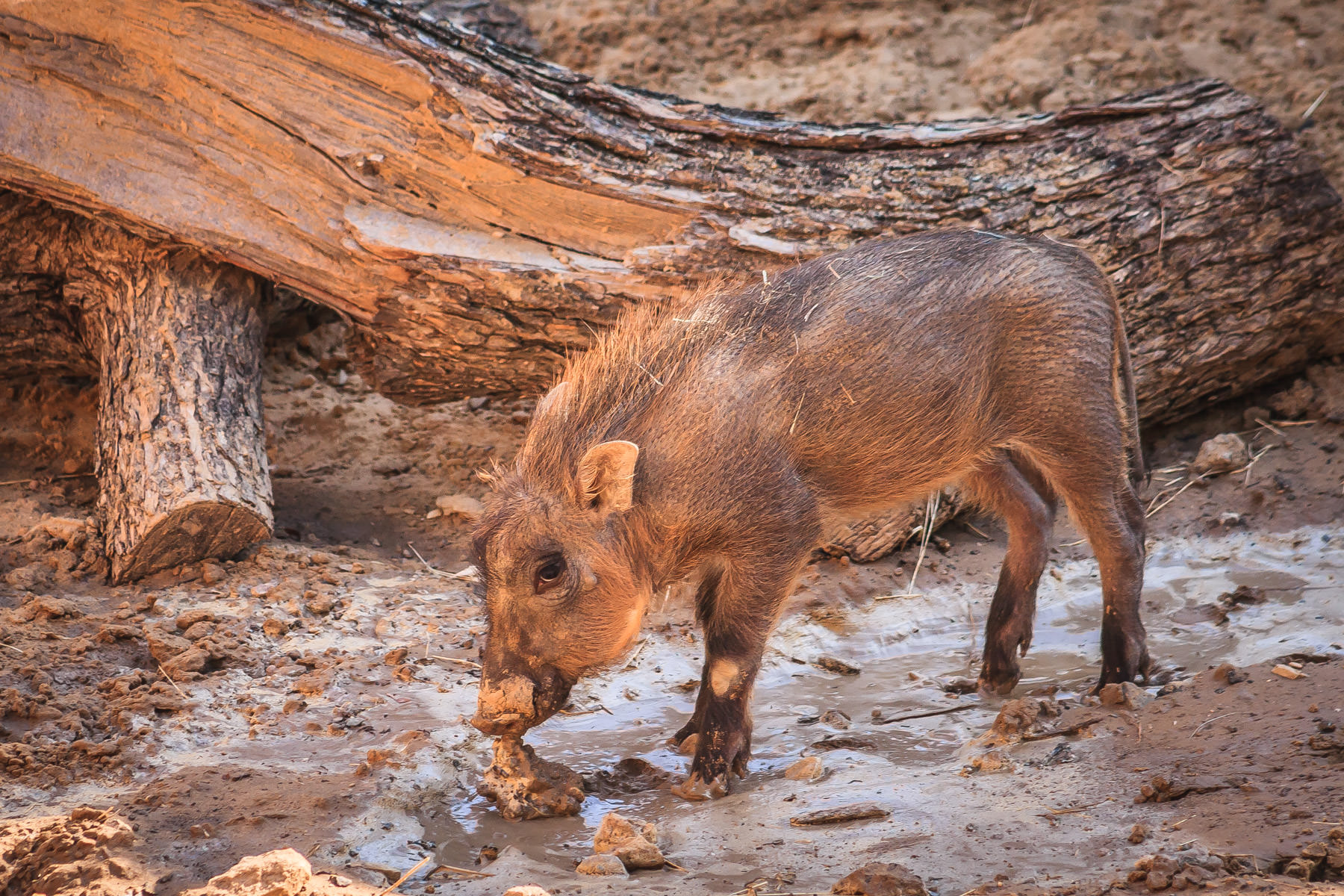 A young warthog enjoys his muddy home at the Dallas Zoo.
