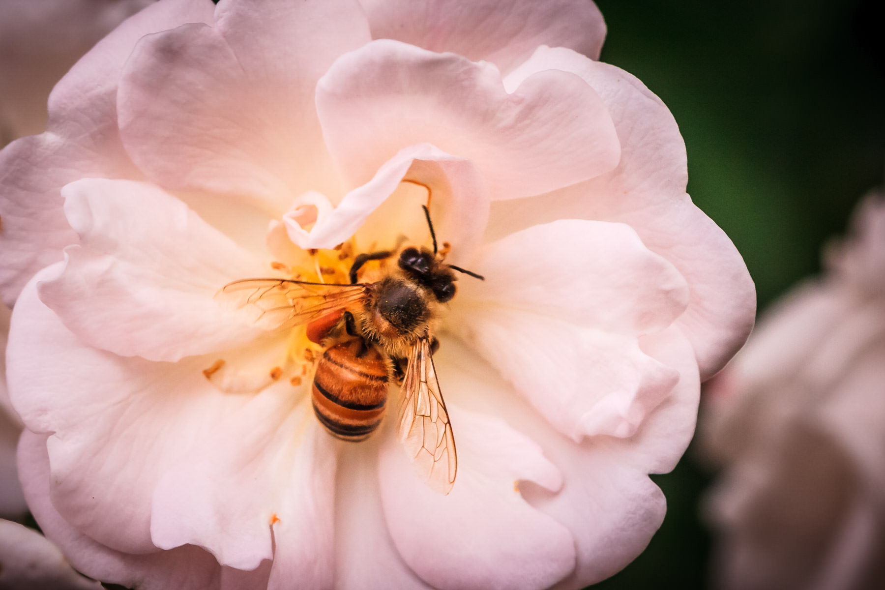 A bee collects pollen from a pink rose in Addison Circle Park, Addison, Texas